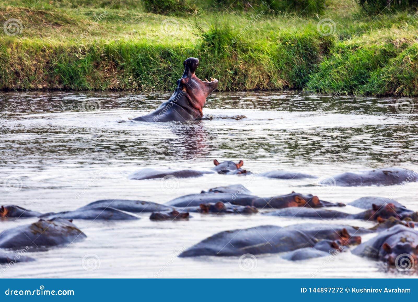 Stado ogromni hipopotamów odpoczynki