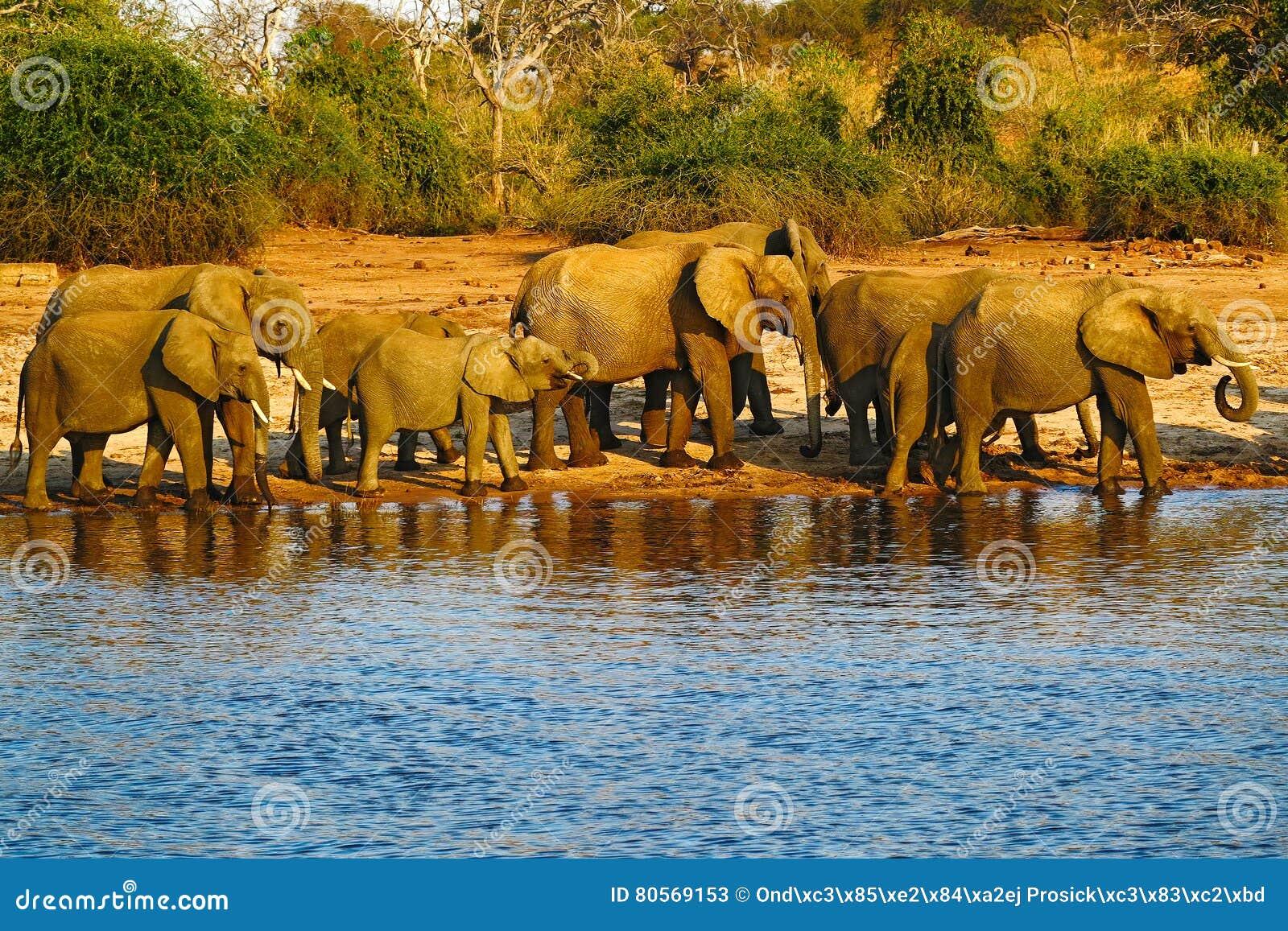 Stado podnosi ich bagażniki Afrykańscy słonie pije przy waterhole, Chobe park narodowy, Botswana, Afryka Przyrody sceny wi
