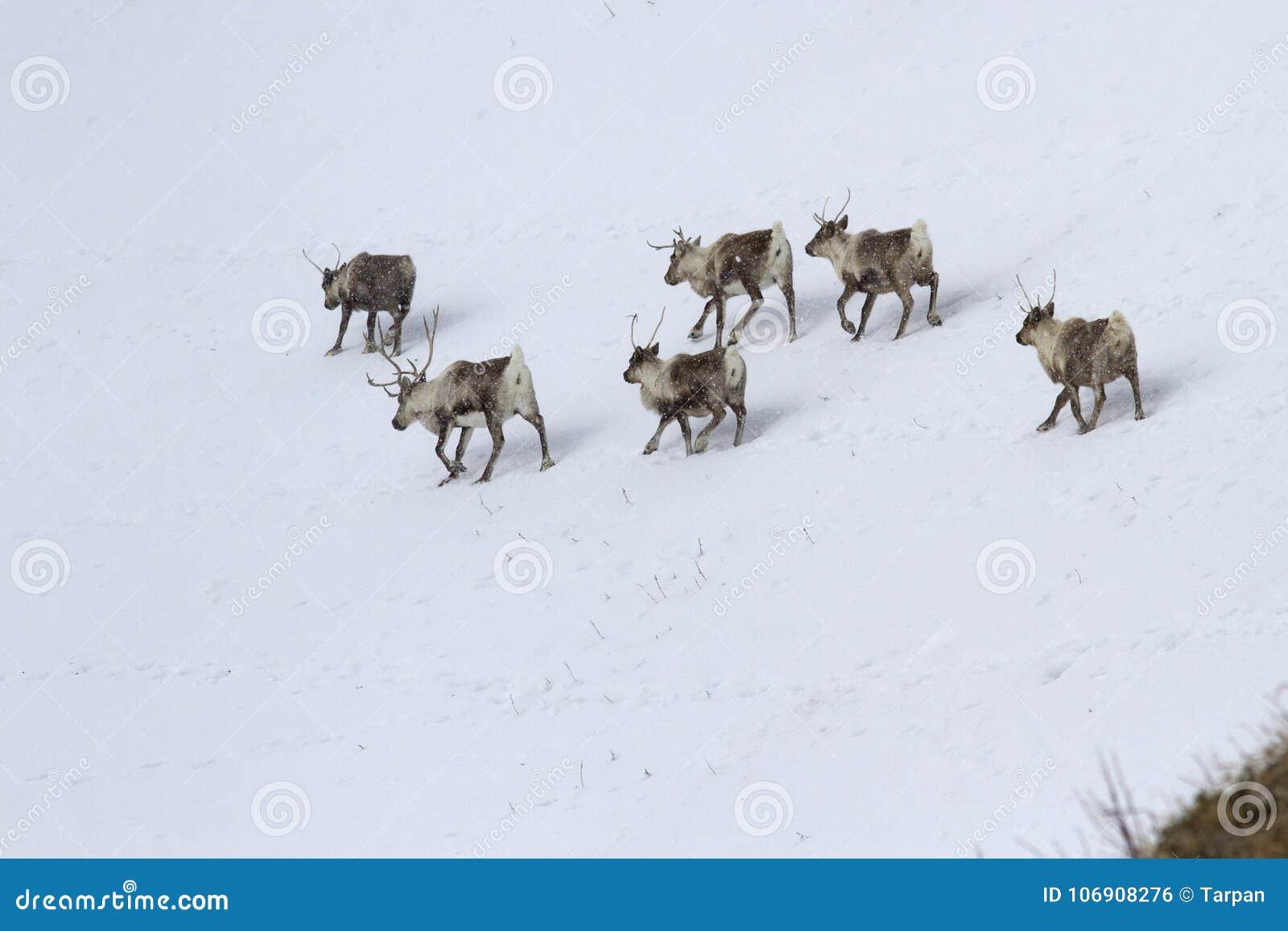 Stado Reindeerwalking wzdłuż skłonu śnieżysty wzgórze ja