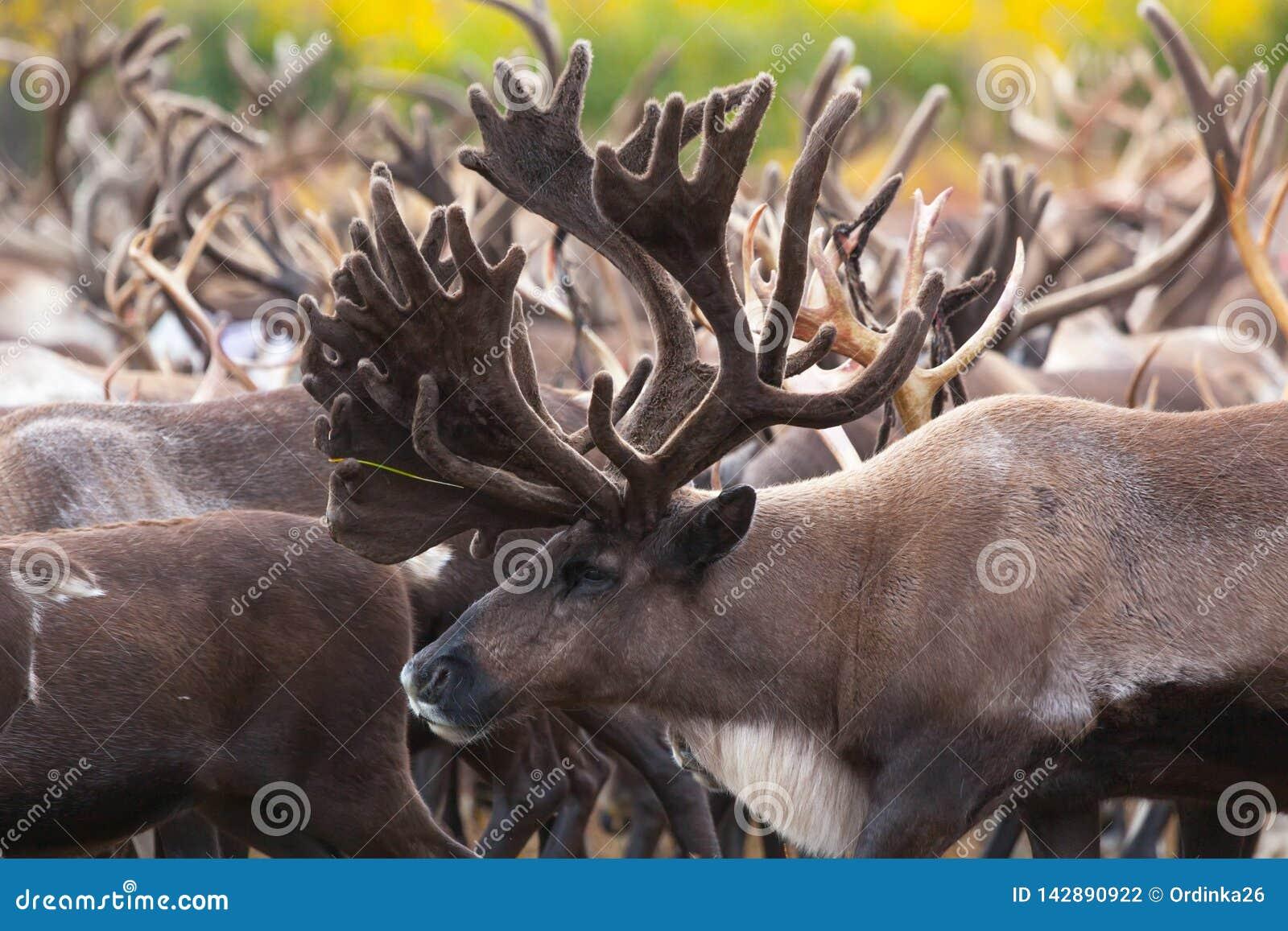Stado renifery w tundrze w jesieni Wielka samiec z dużymi rogami w przedpolu