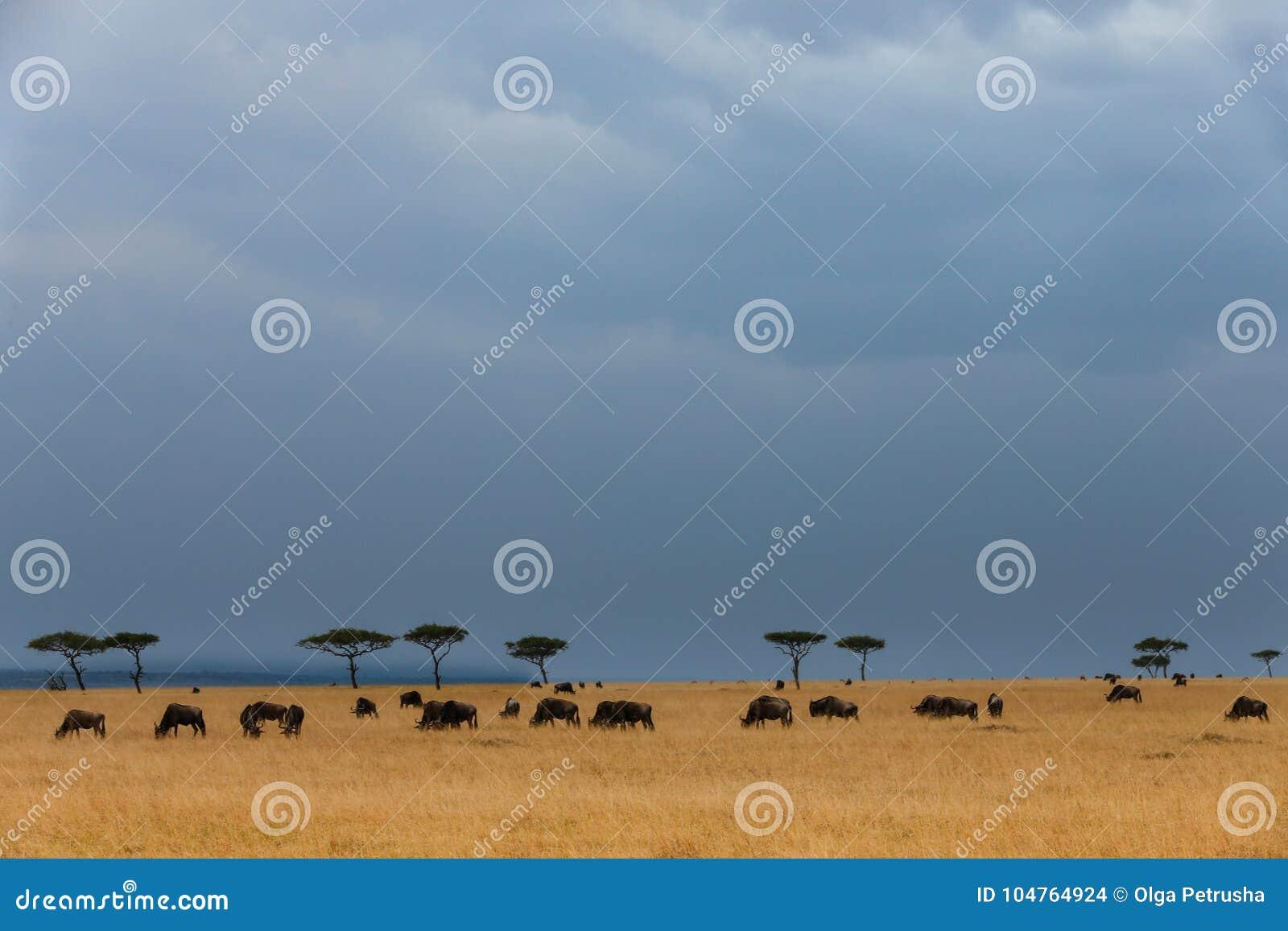 Stado wildebeest w sawannie