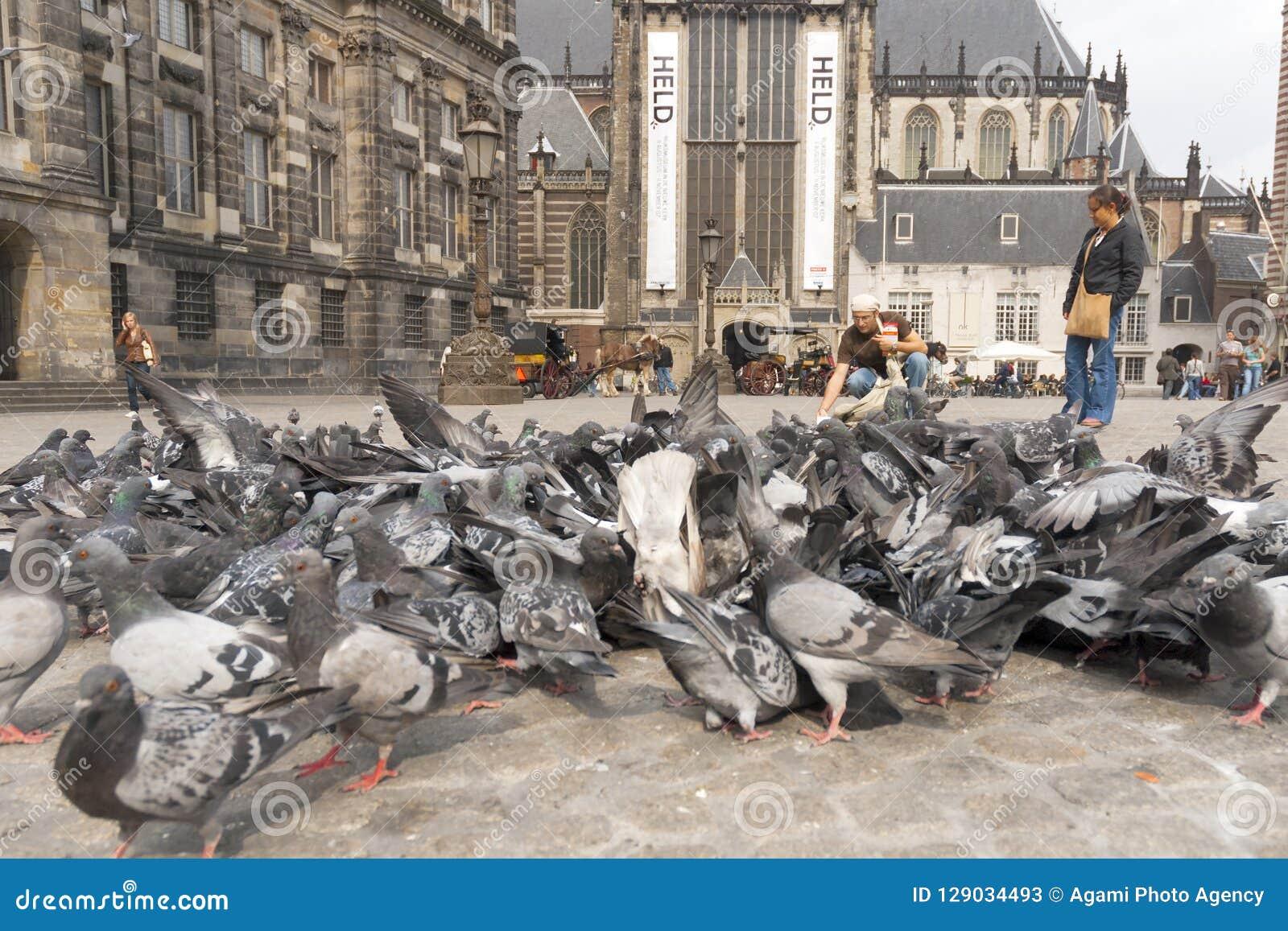 Stadsduif, Feral Pigeon, colomba livia