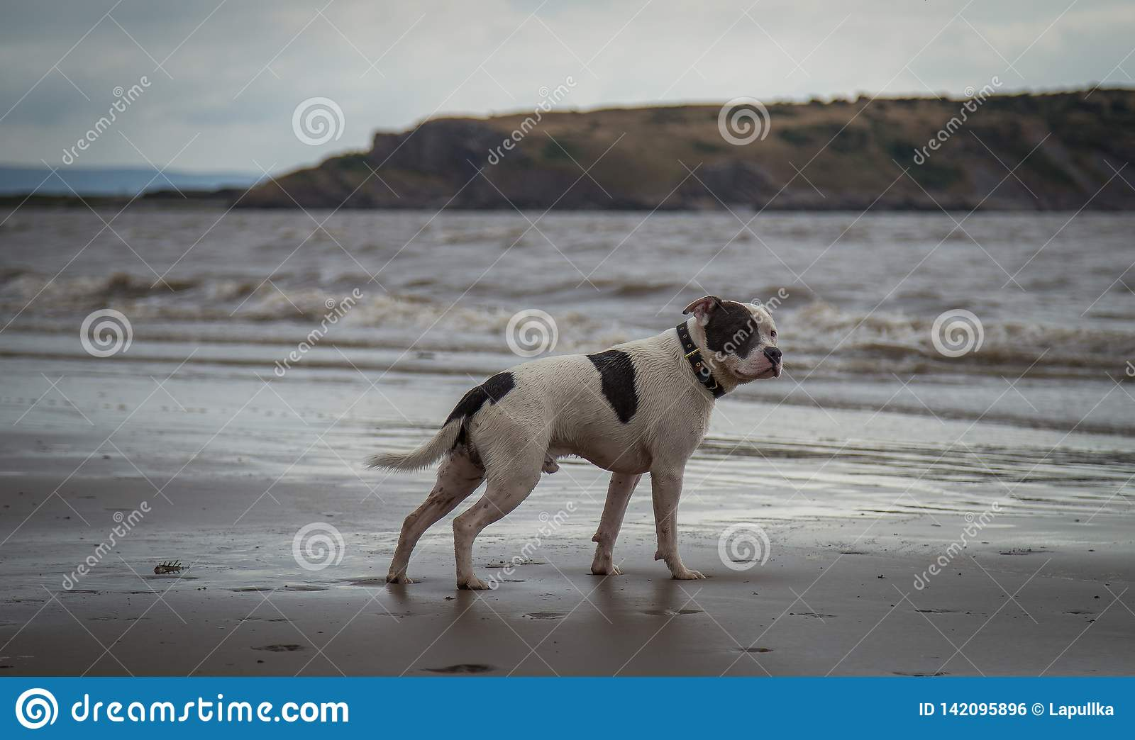 Staffordshire bull terrier dog looking in the sea at Weston Super mare