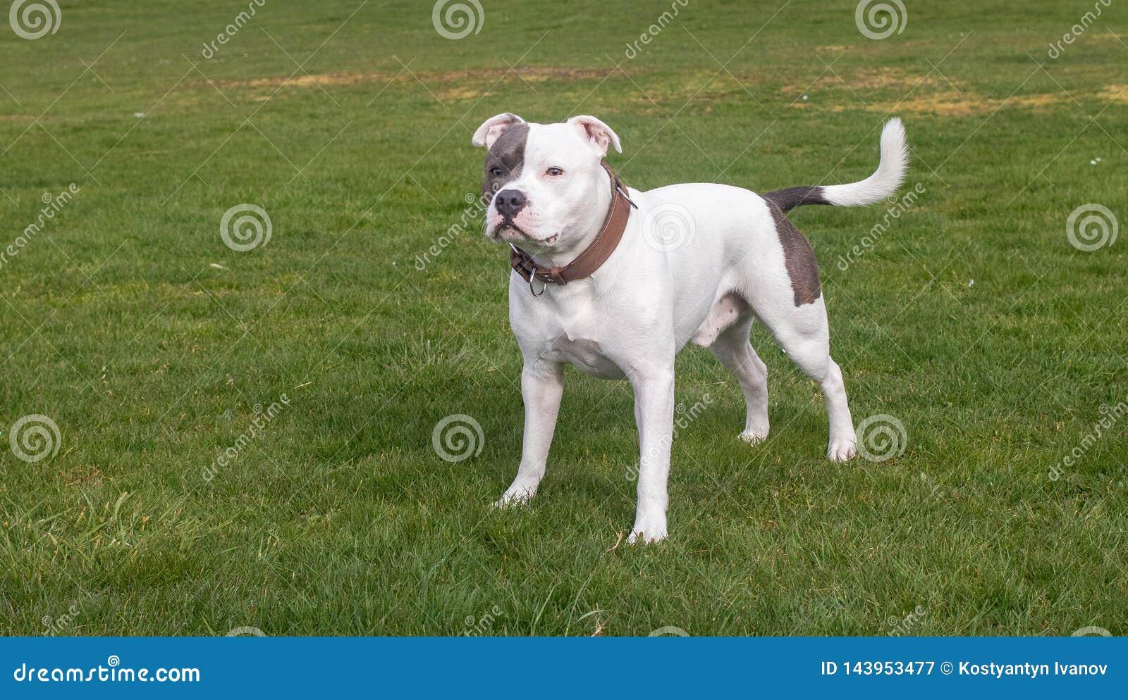 Staffordshire Bull Terrier Dog walking in park