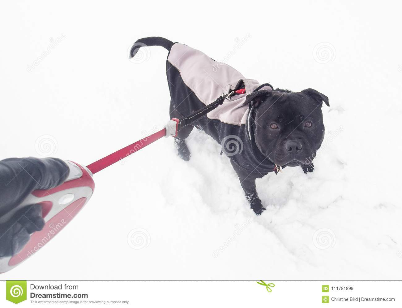 Staffordshire bull terrier dog wearing a coat in the snow