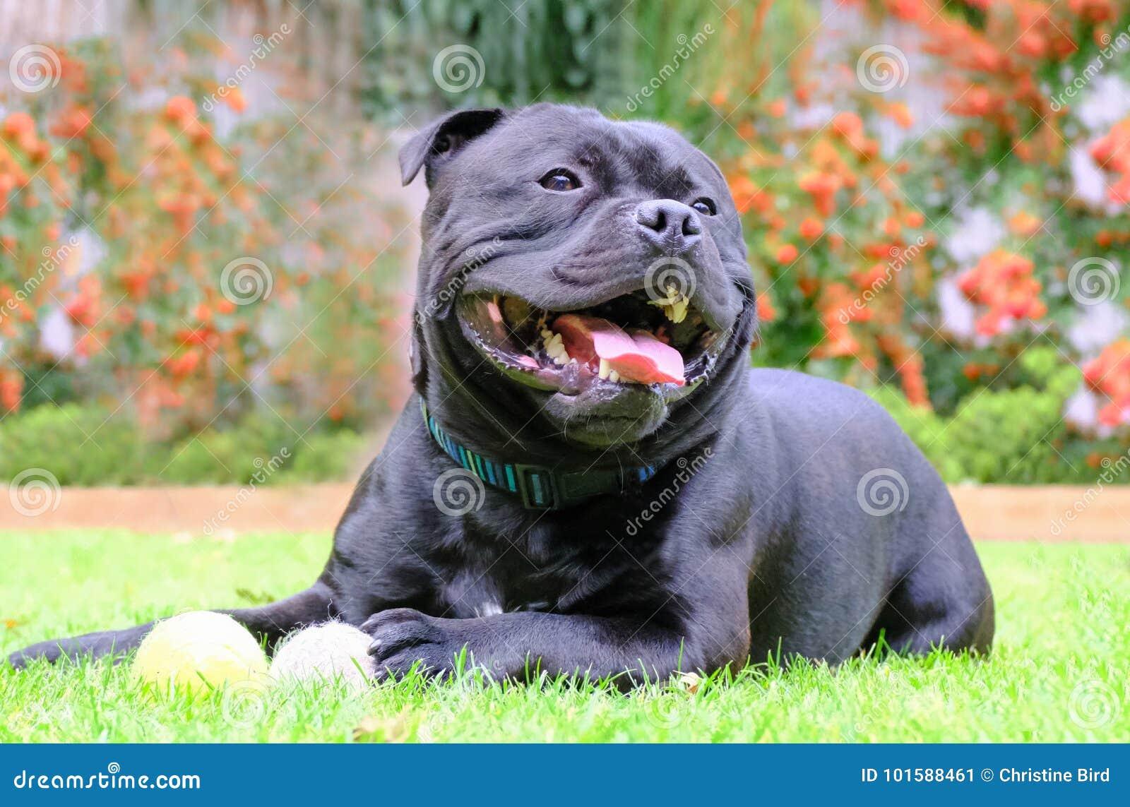 882c0f52c2f Staffordshire bull terrier zwarte hond die bij gras het spelen met  tennisballen liggen hij is gelukkig en ontspannen