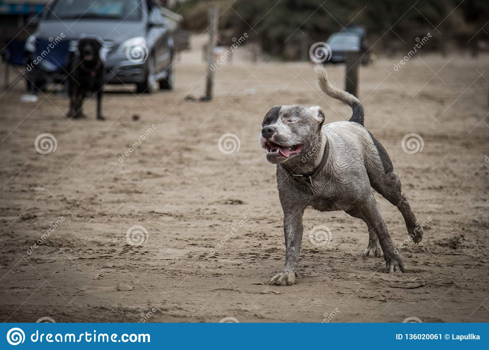 Staffordshire Bull Terrier on the sea