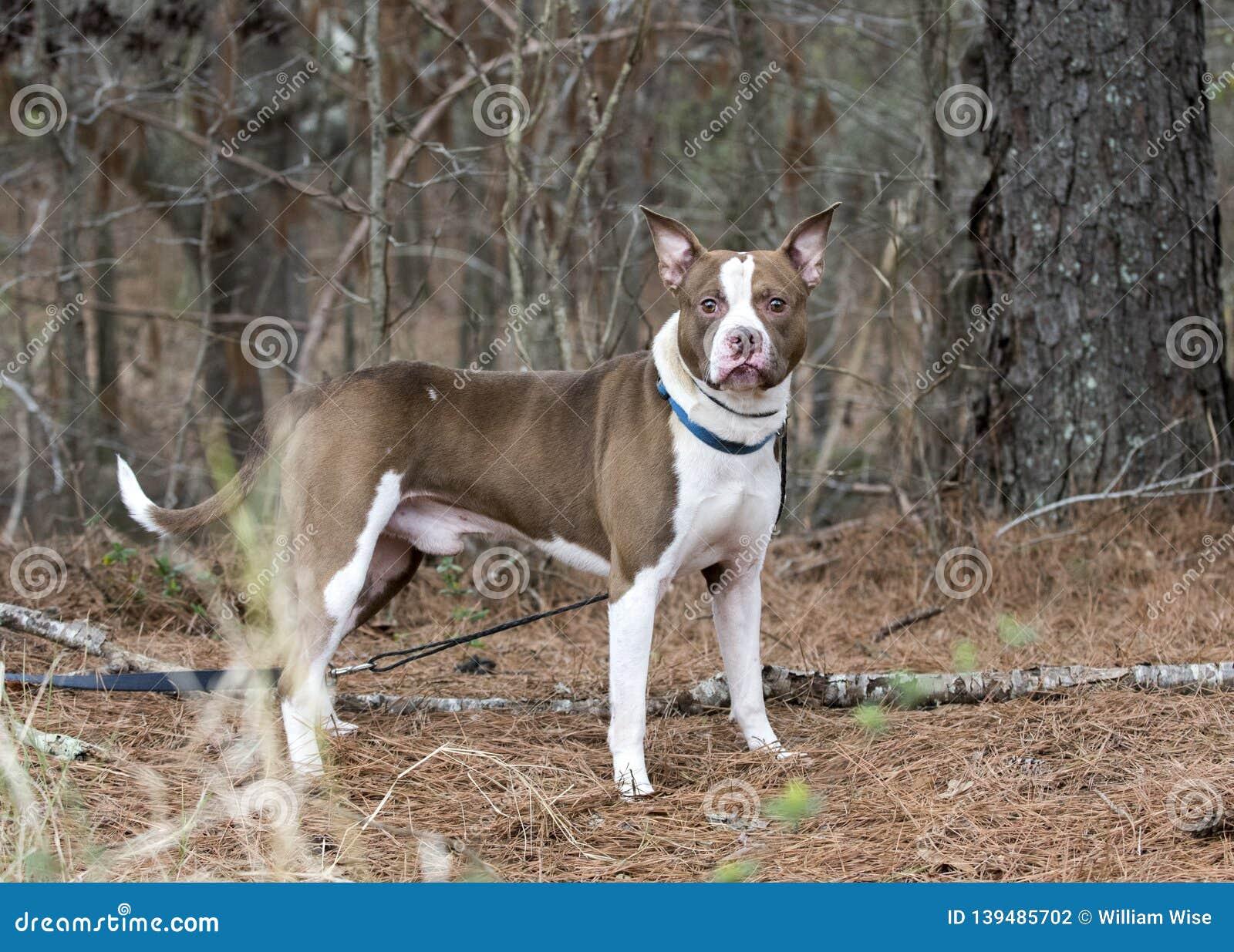 Staffordshire Bull Terrier Pitbull trakenu buldog mieszający pies