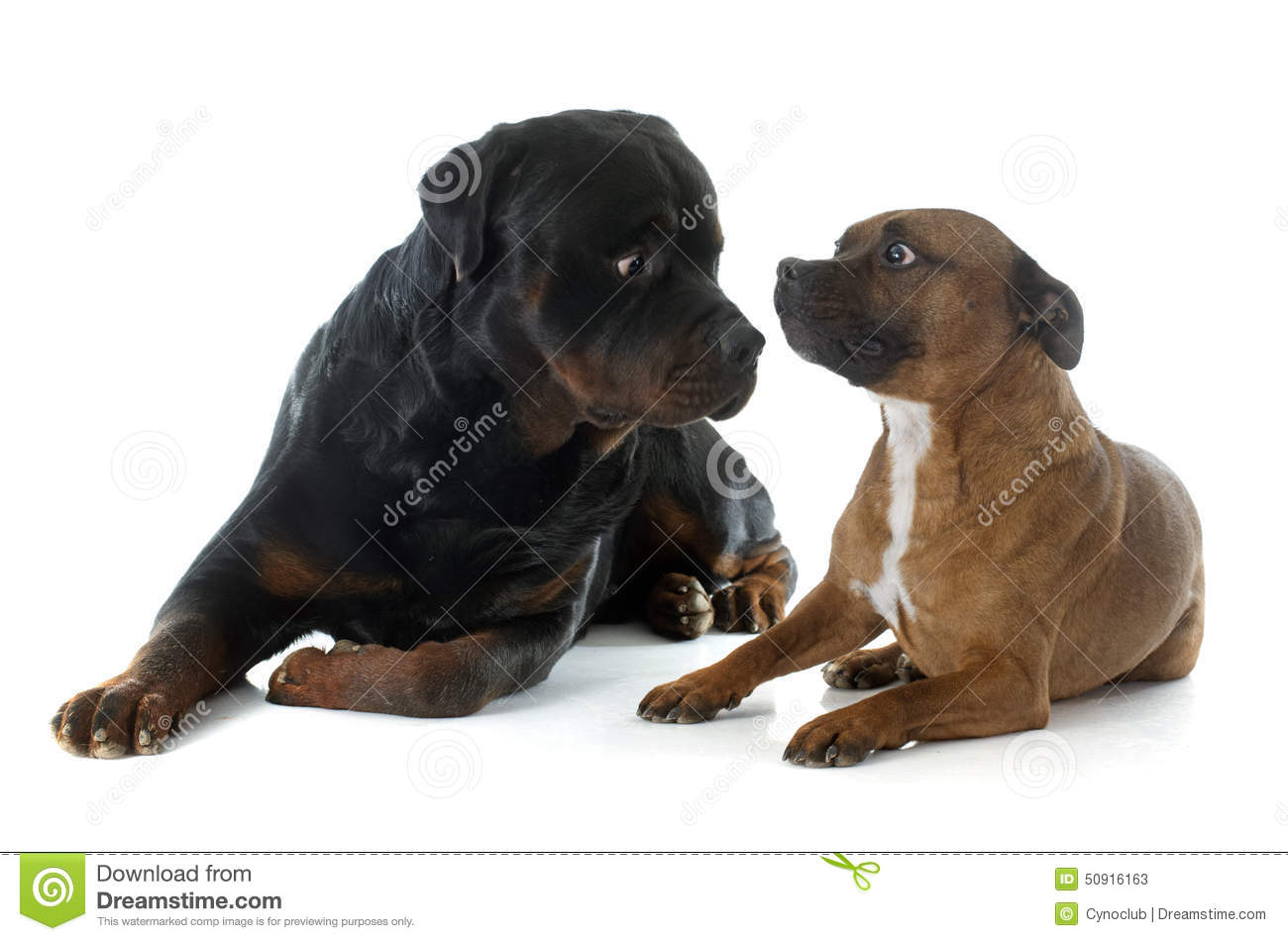 Staffordshire Bull Terrier And Rottweiler Stock Image Image - Terrier and rottweiler