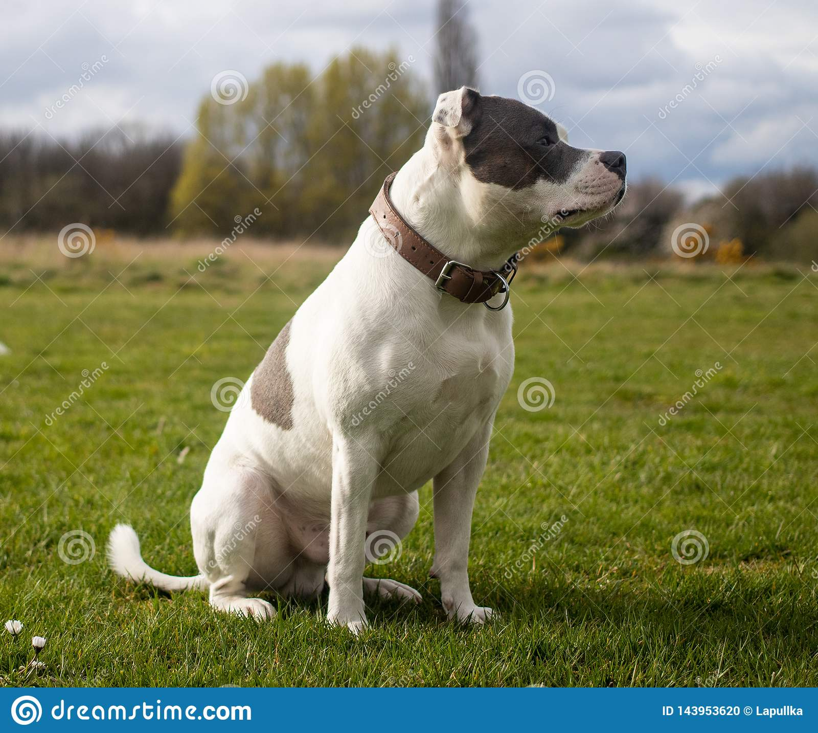 Staffordshire Bull Terrier Dog walking in park