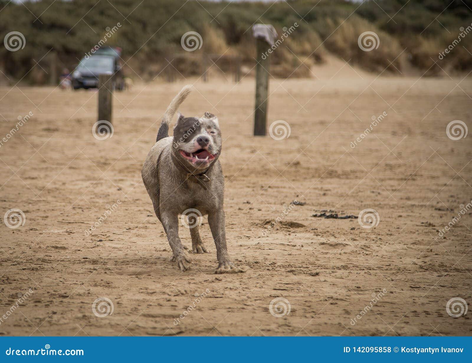 Staffordshire-Bullterrierhund, der auf dem Strand von Weston Super Mare läuft