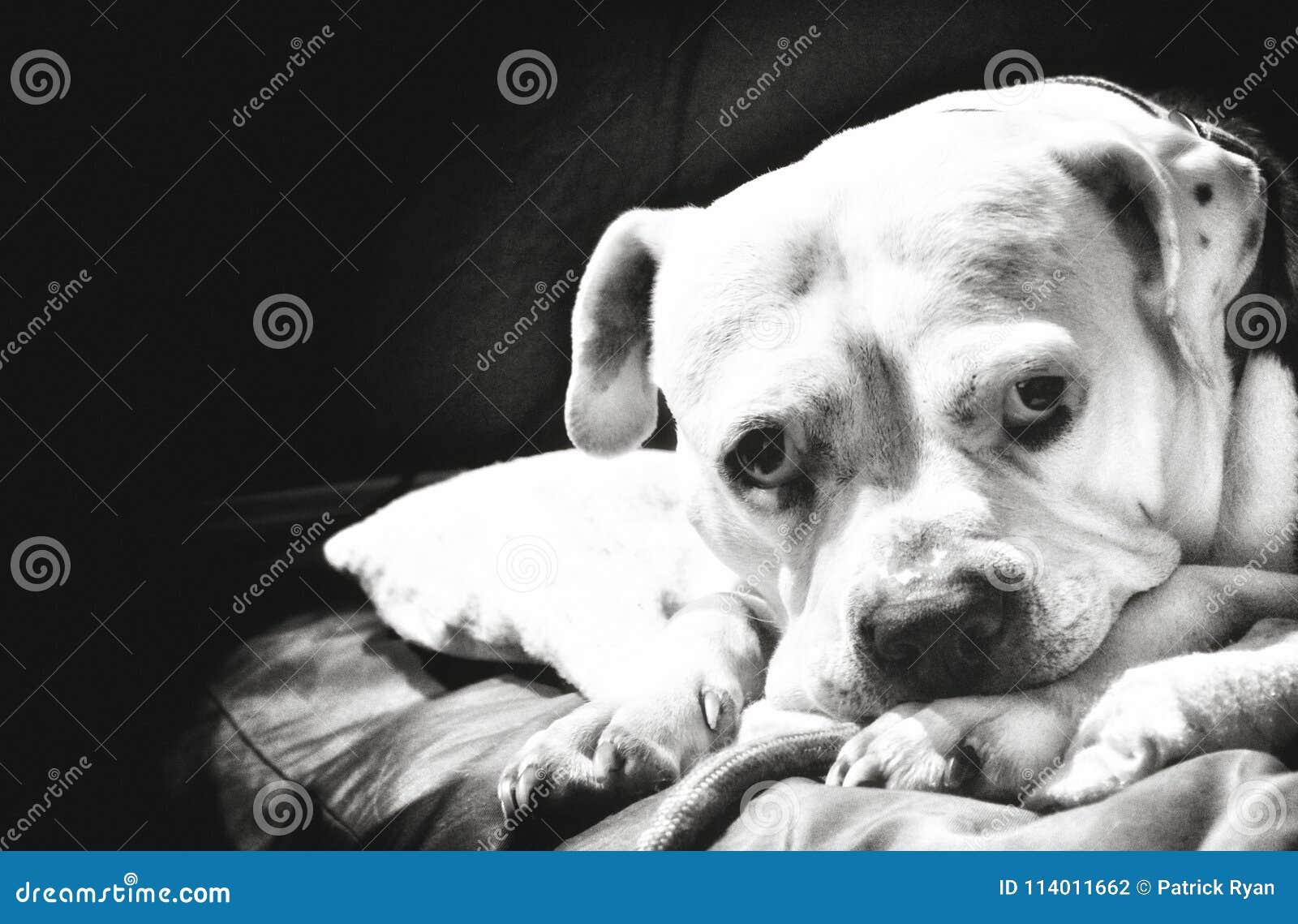 Staffordshire terier
