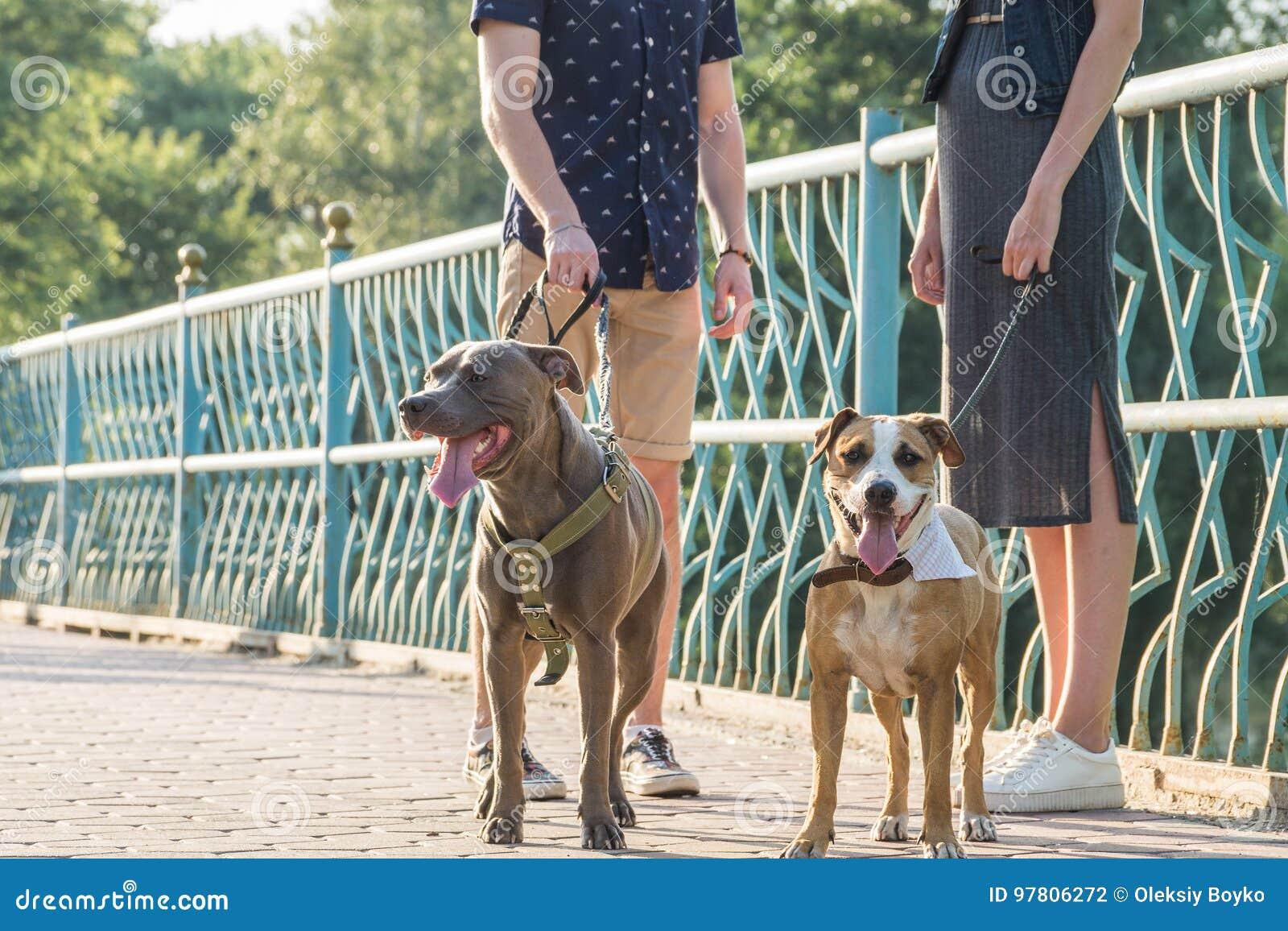 Staffordshire terrier och deras ägare på gatan