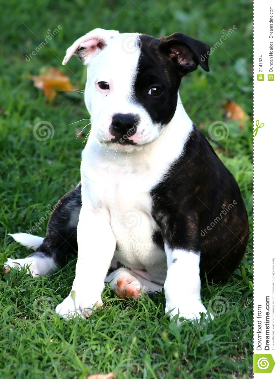 Staffordshire Terrier Puppy Stock Photo - Image: 2347834