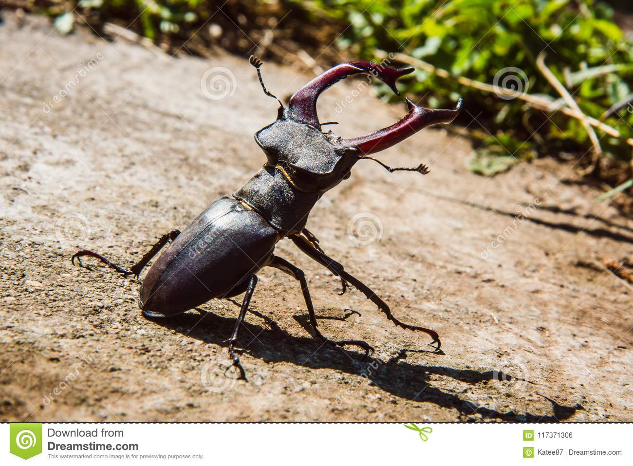 Stag Beetle Is A Very Interesting Animal That Appears In The