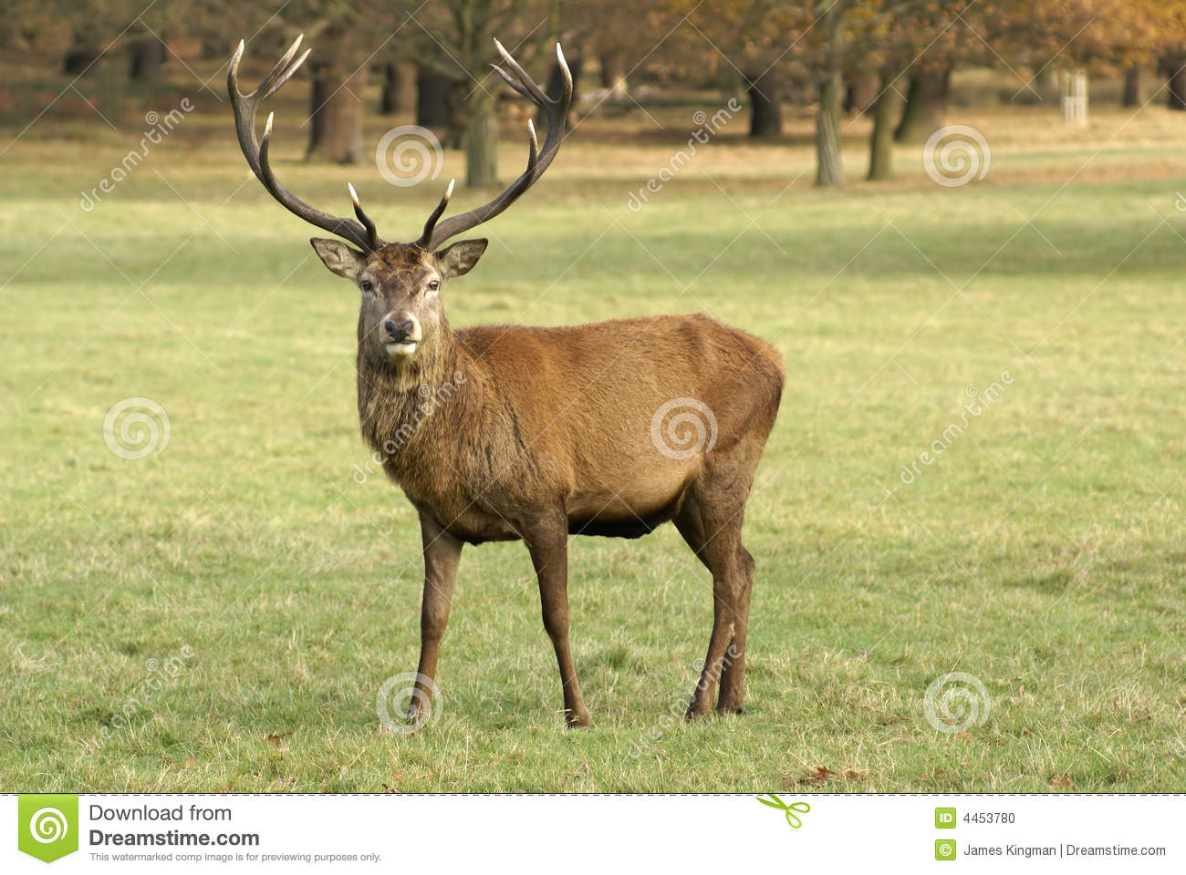 Stag Deer Stock Photo - Image: 4453780