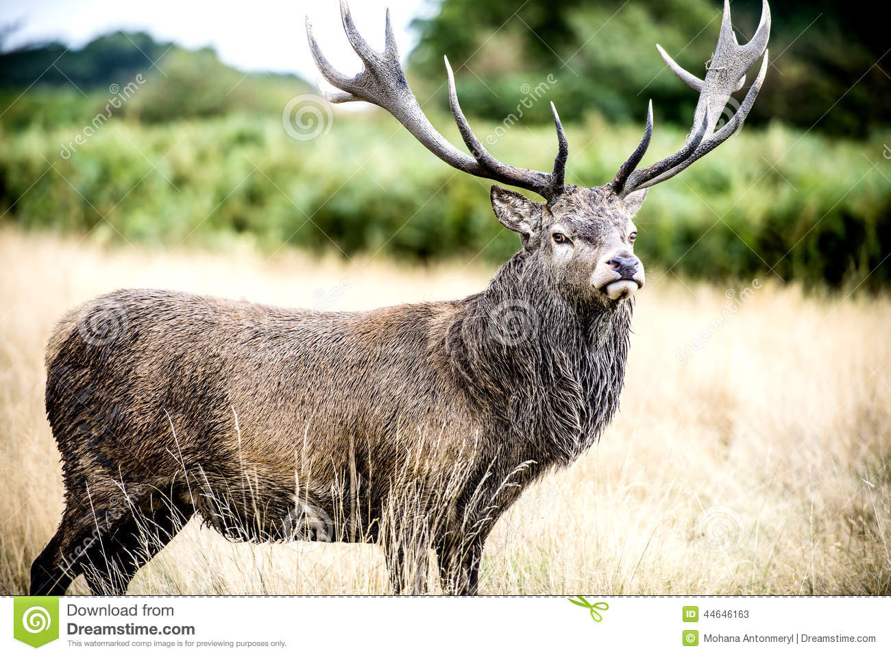 Stag Or Hart, The Male Red Deer Stock Photo - Image: 44646163