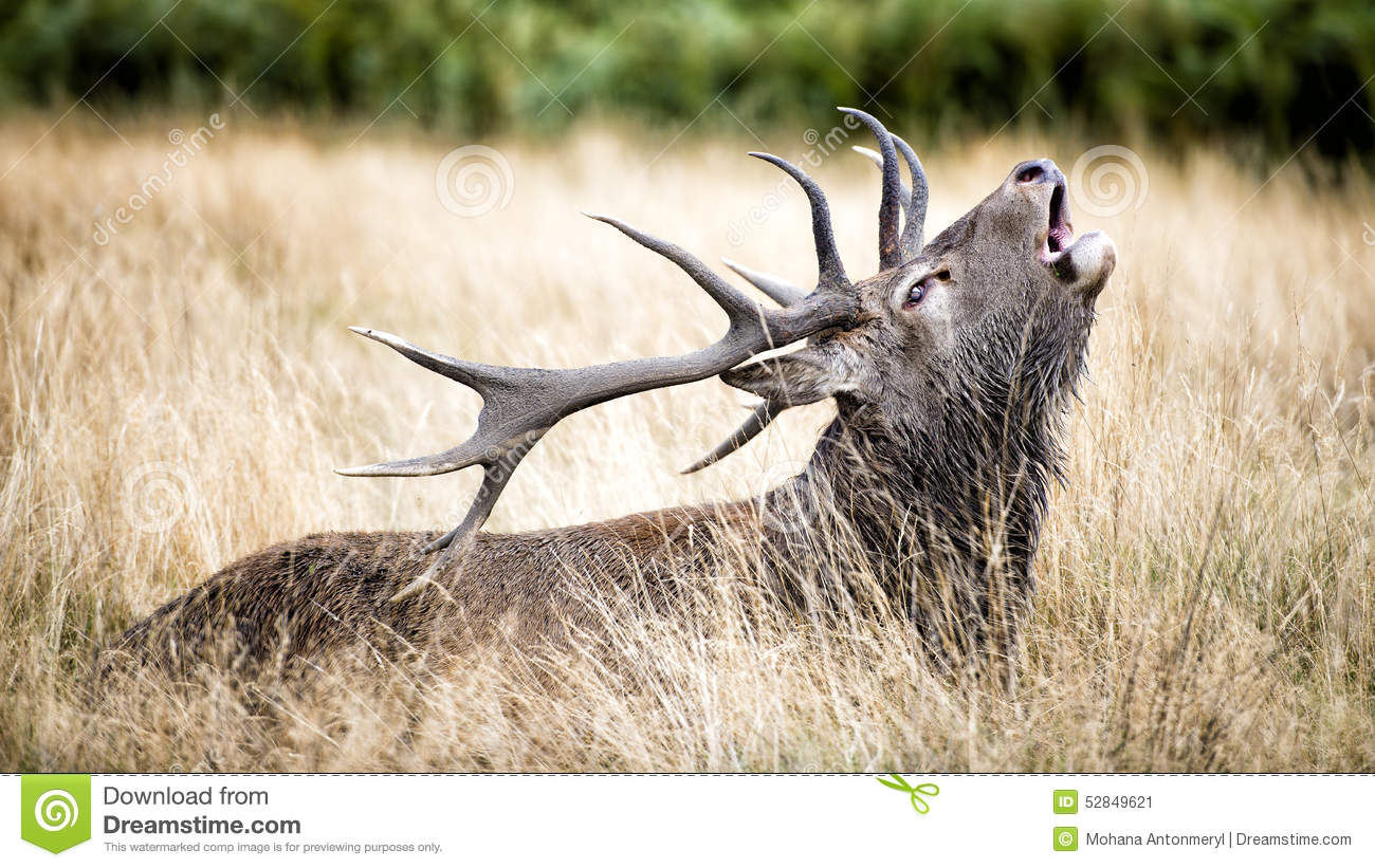 Stag or Hart, the male red deer in the wild