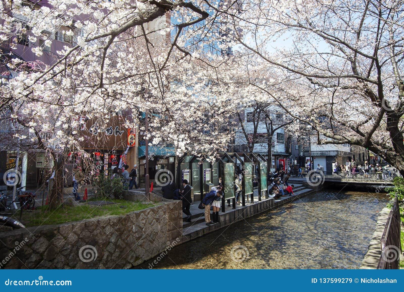 Stagione del fiore di ciliegia del Giappone a Kyoto all inizio di marzo ogni anno, il Giappone