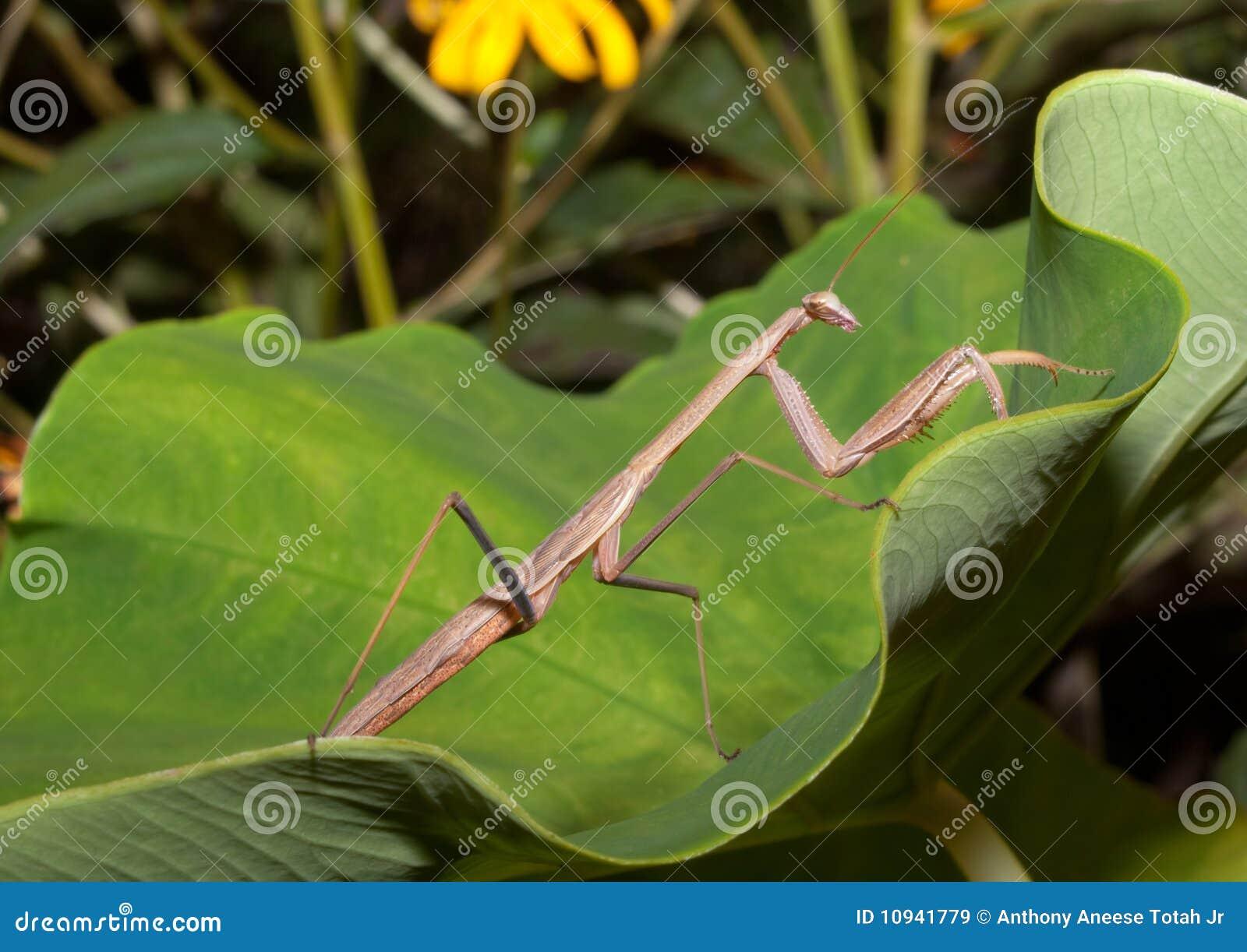 Stagmomantis mantis Каролины моля