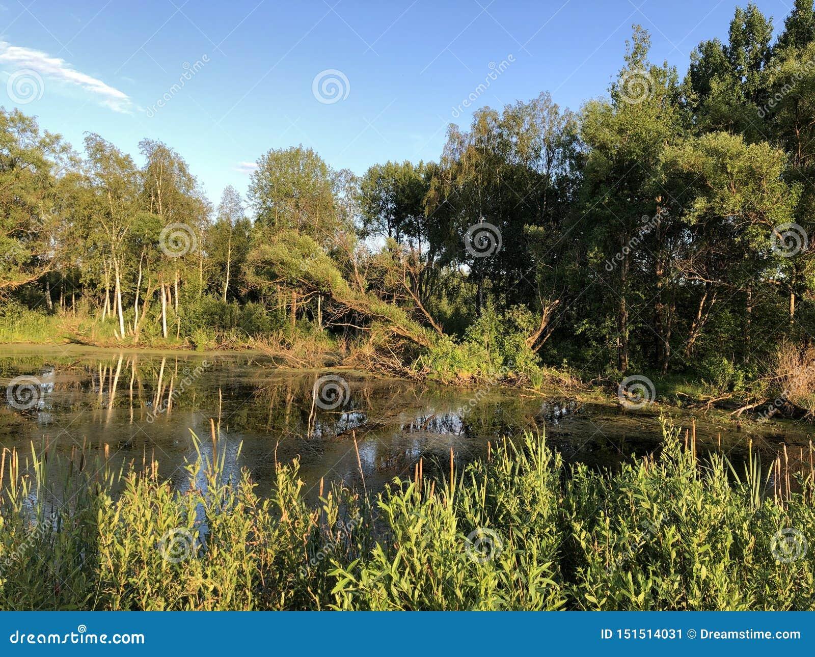 Stagno, acqua, foresta, natura, estate, palude, cielo blu