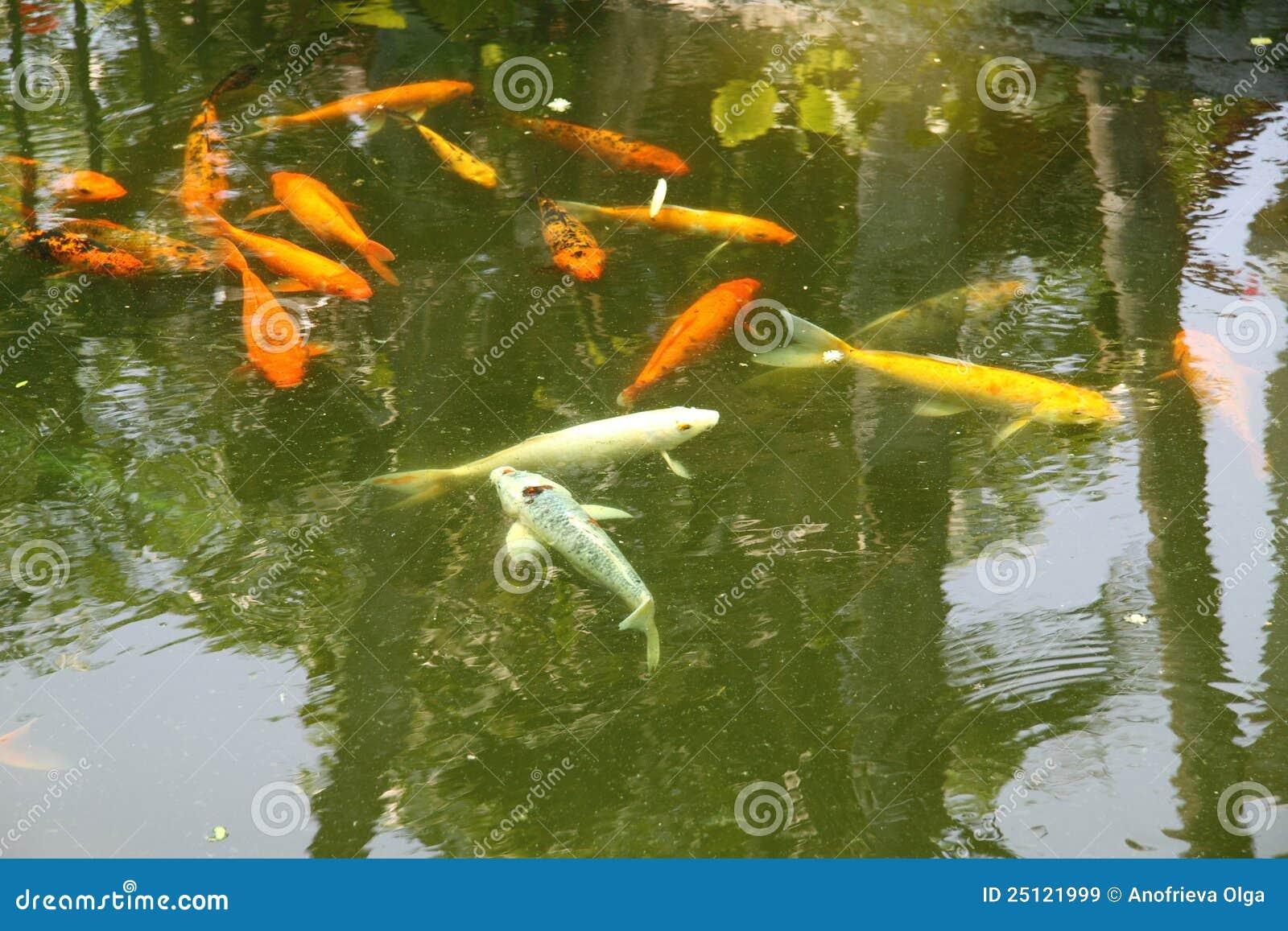 stagno con i pesci decorativi immagine stock immagine di