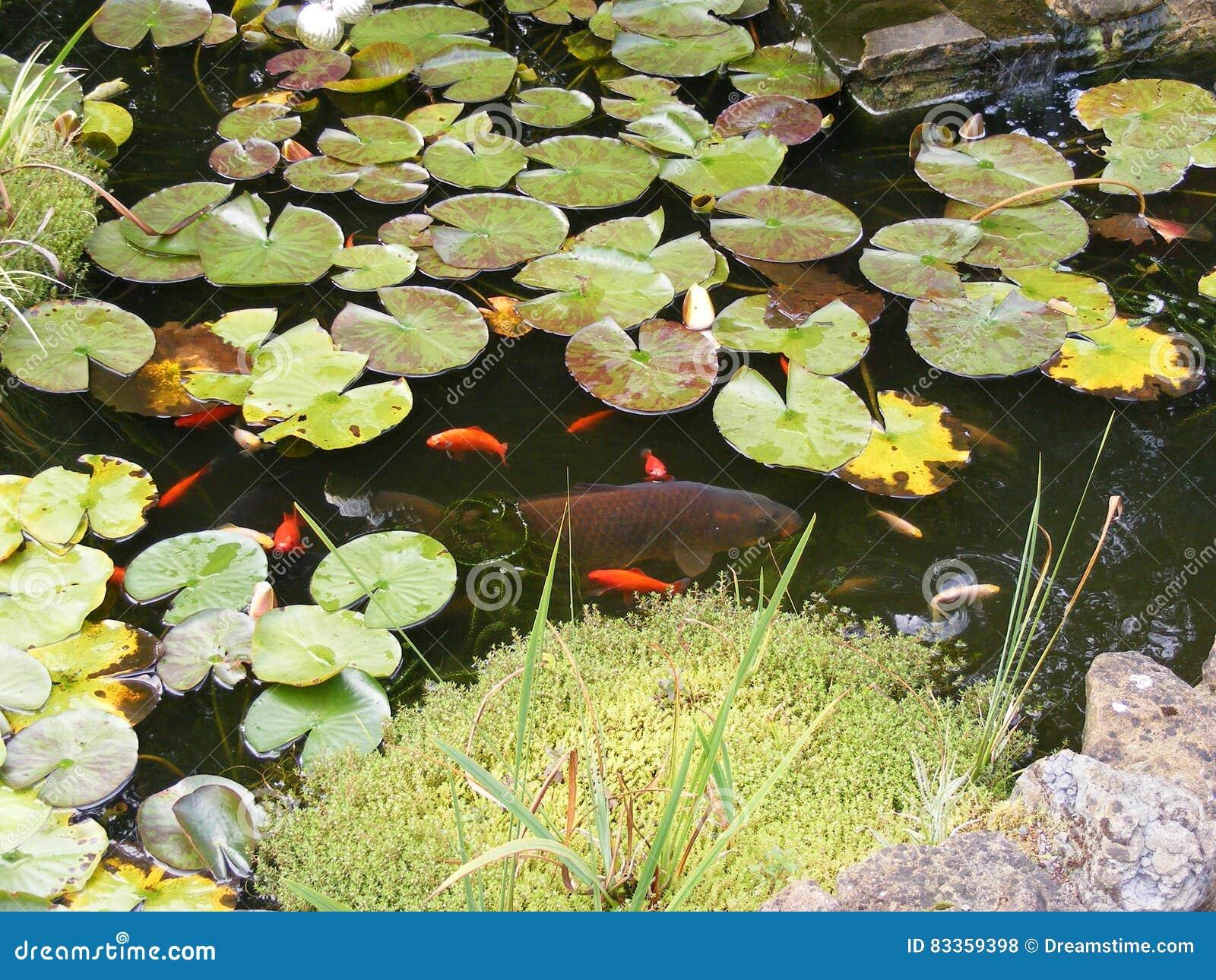 Stagno del giardino con il pesce rosso il koi e le ninfee for Piante da stagno