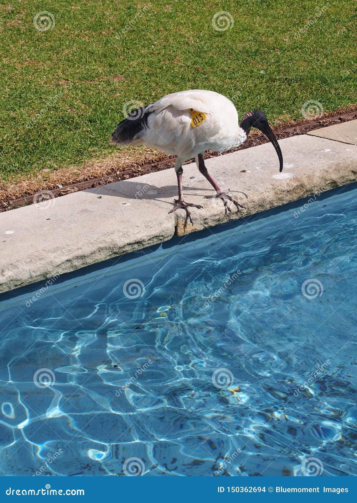 Stagno di acqua blu e dell ibis bianco australiano, Sydney Royal Botanic Gardens contenuto