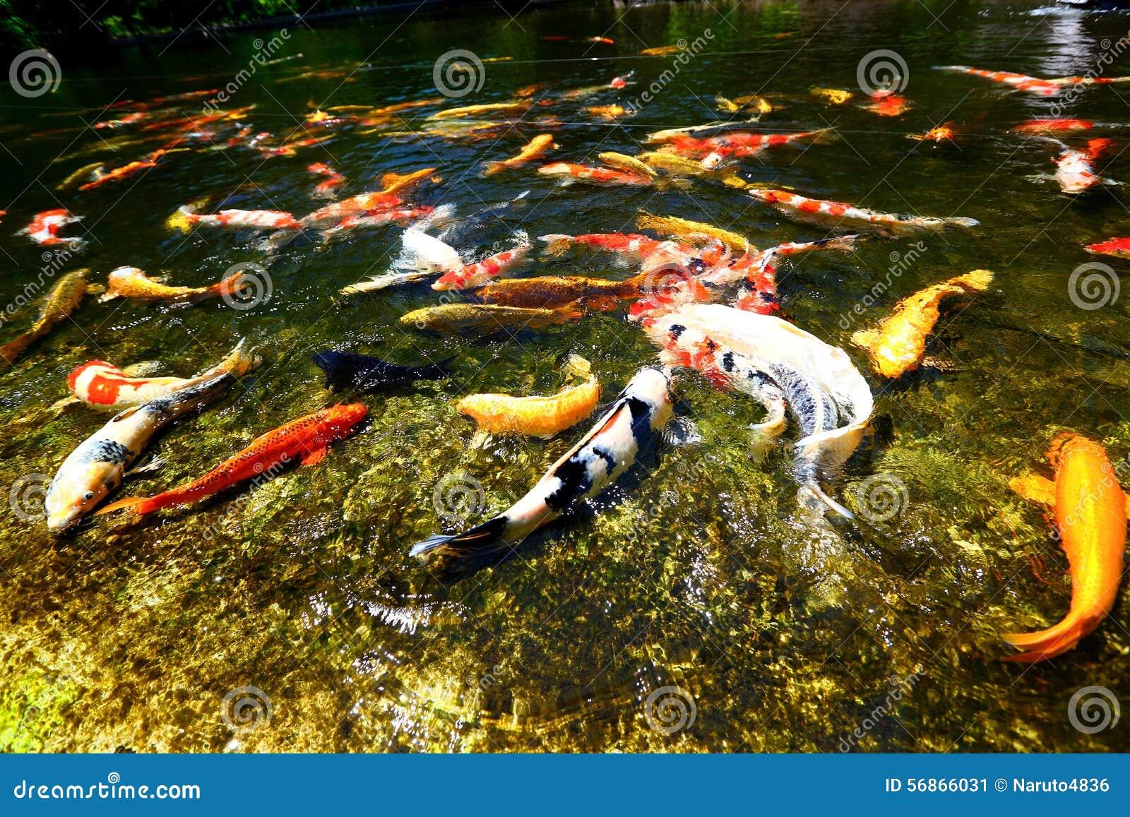 Stagno di pesce di koi fotografia stock immagine 56866031 for Pesci da stagno