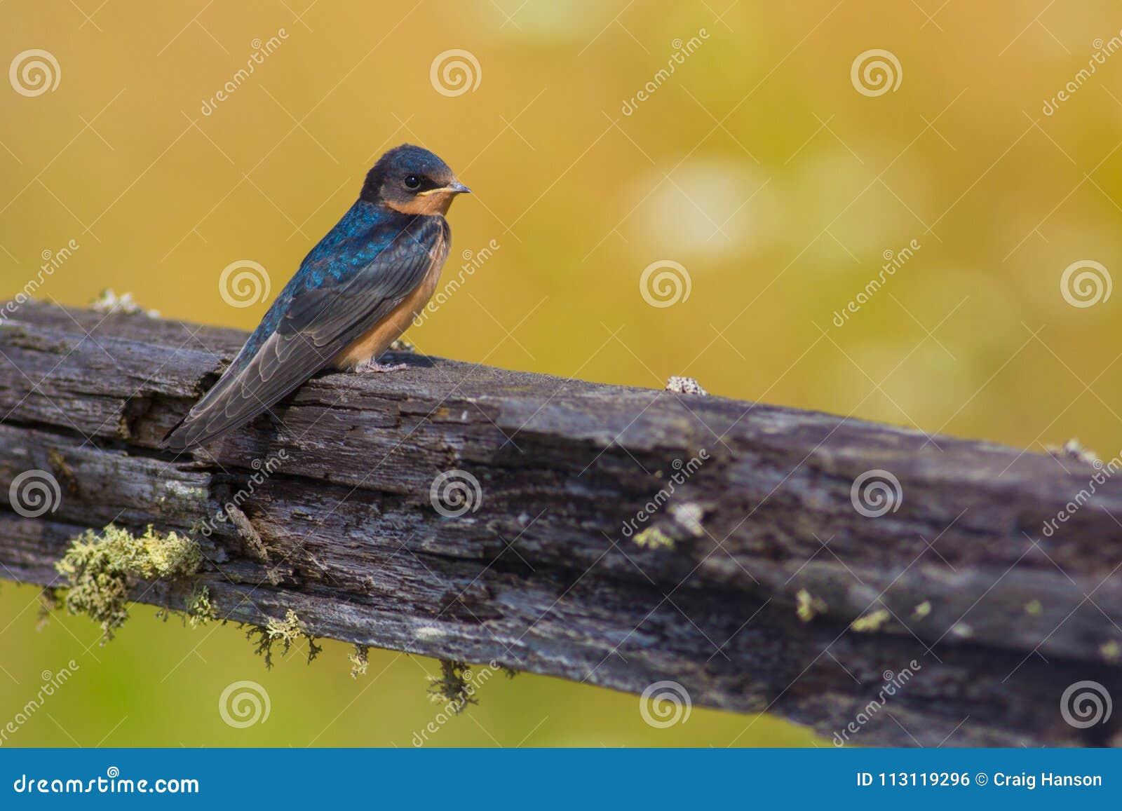 Stajni dymówka na Starym Drewnianym ogrodzeniu