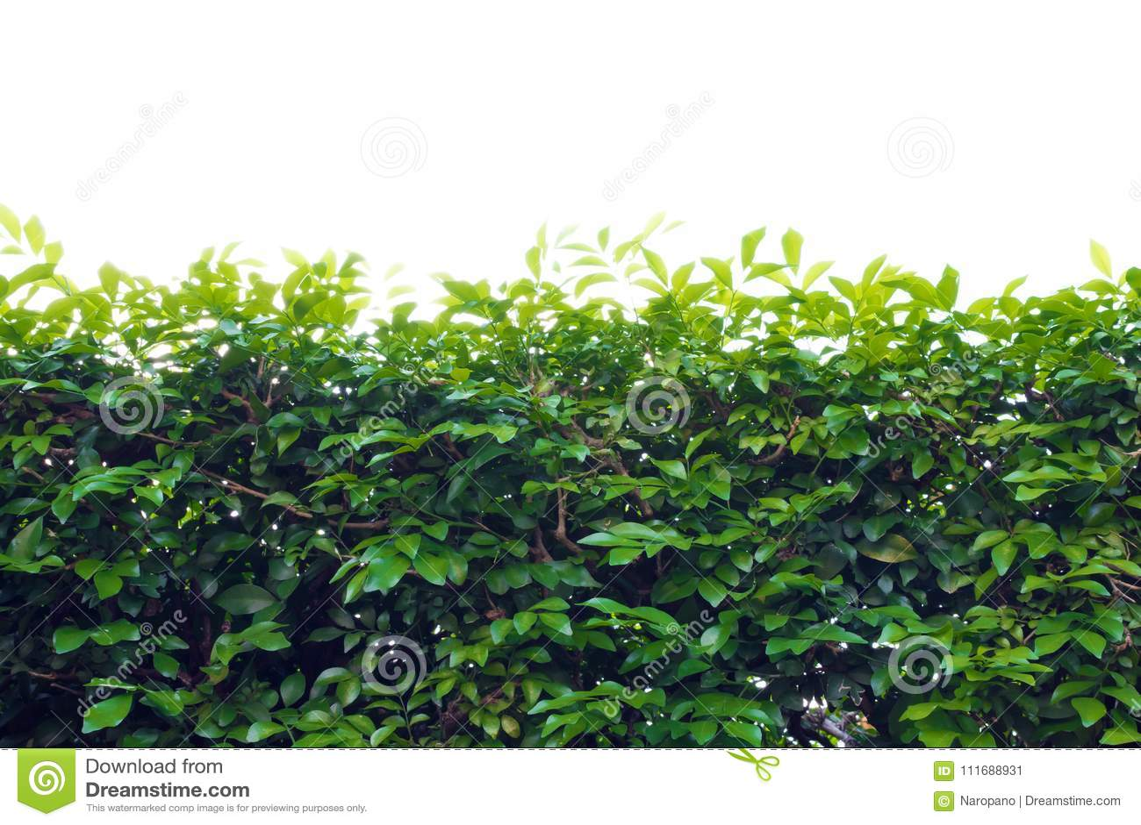 Staket för gräsplan för trädbladbuskar