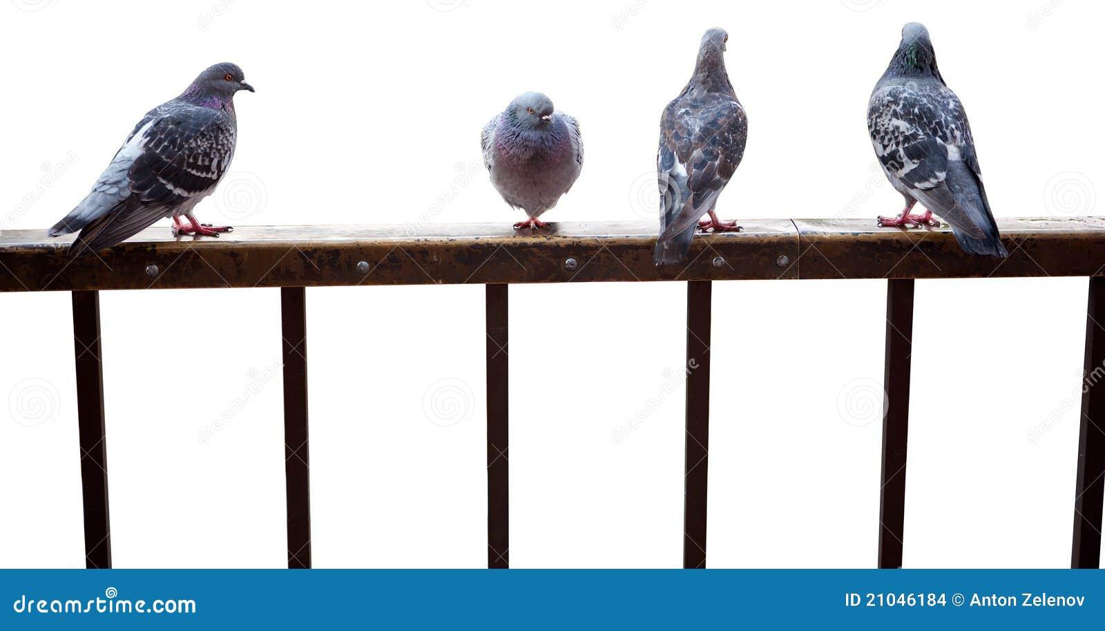 Staket isolerade duvor sitter