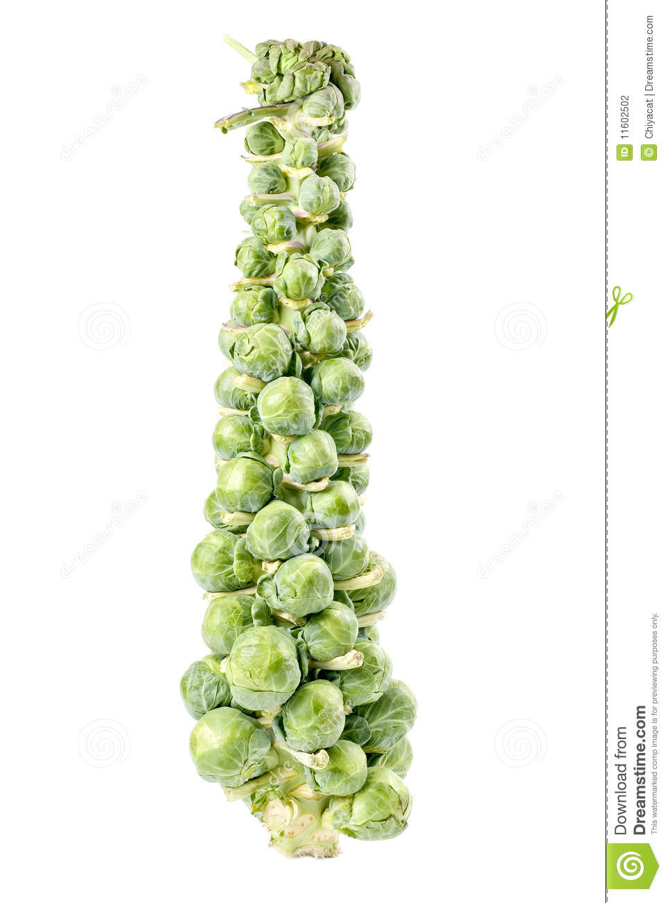 Stalk Of Brussels Sprouts Stock Photography Image 11602502 Watermelon Wallpaper Rainbow Find Free HD for Desktop [freshlhys.tk]
