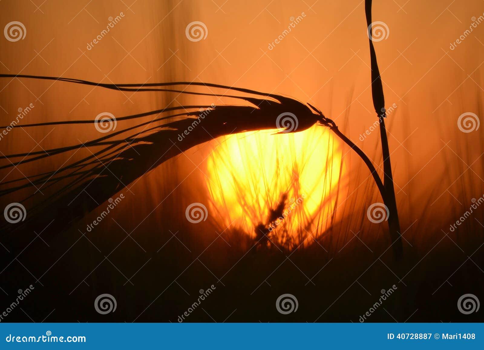Stalk of grain at sunset