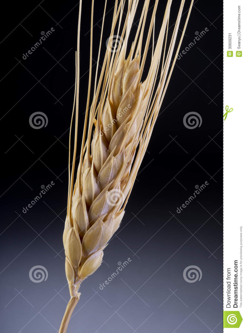 Stalk of wheat stock image. Image of agriculture, culture ...