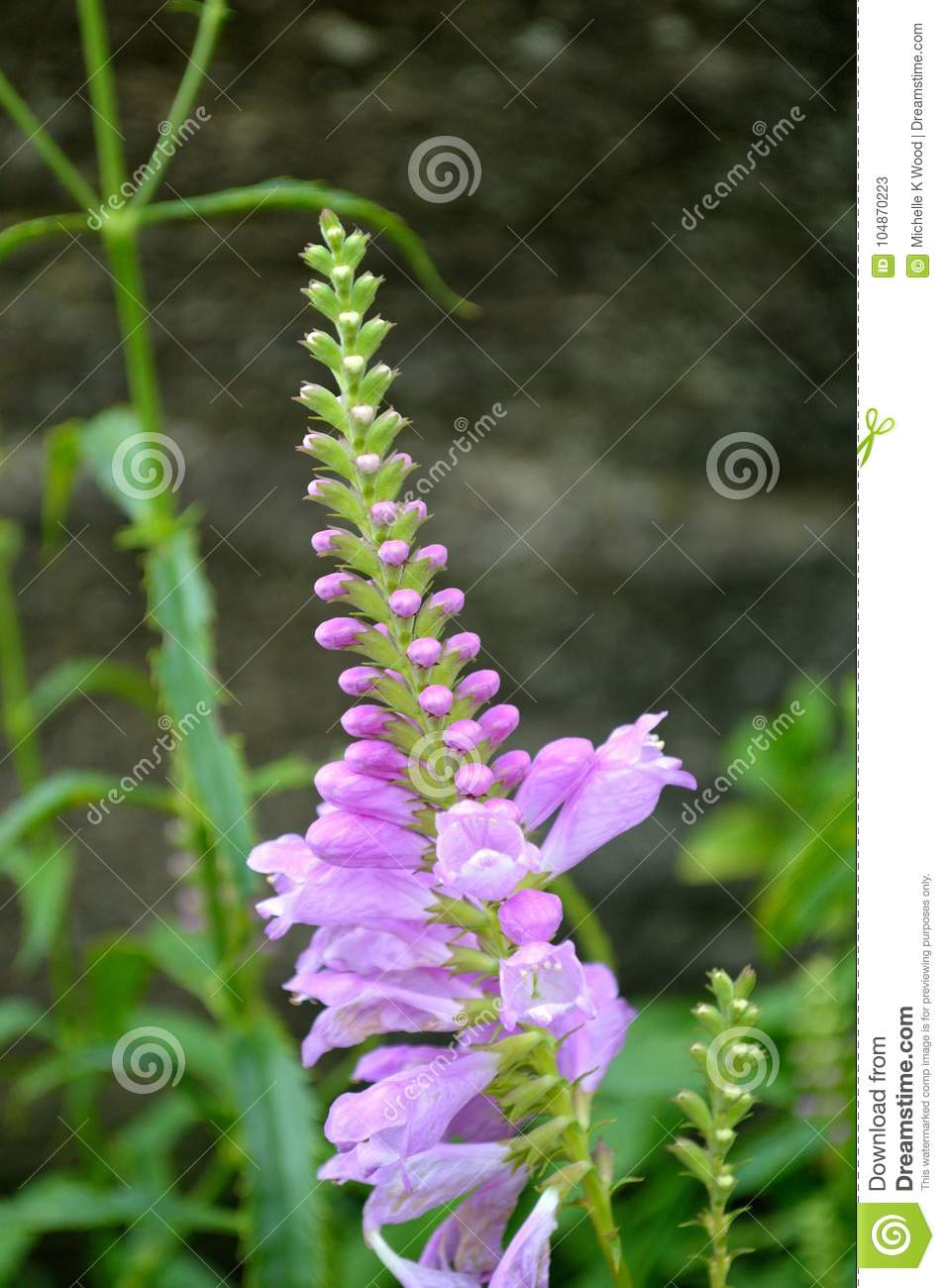 Purple blossoming wild orchids