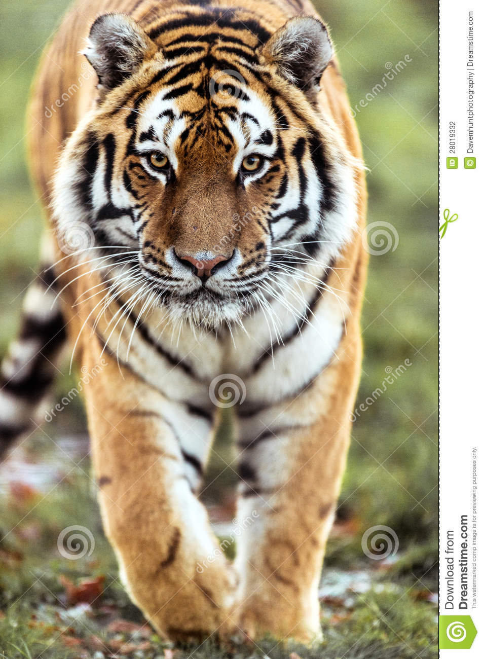 stalking tiger stock photo. image of predator, tigris - 28019332