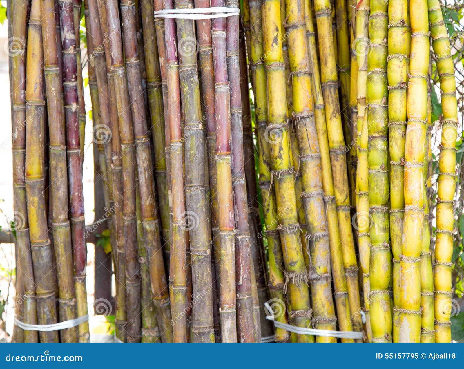 Rhum Running |Sugar Cane Stalks