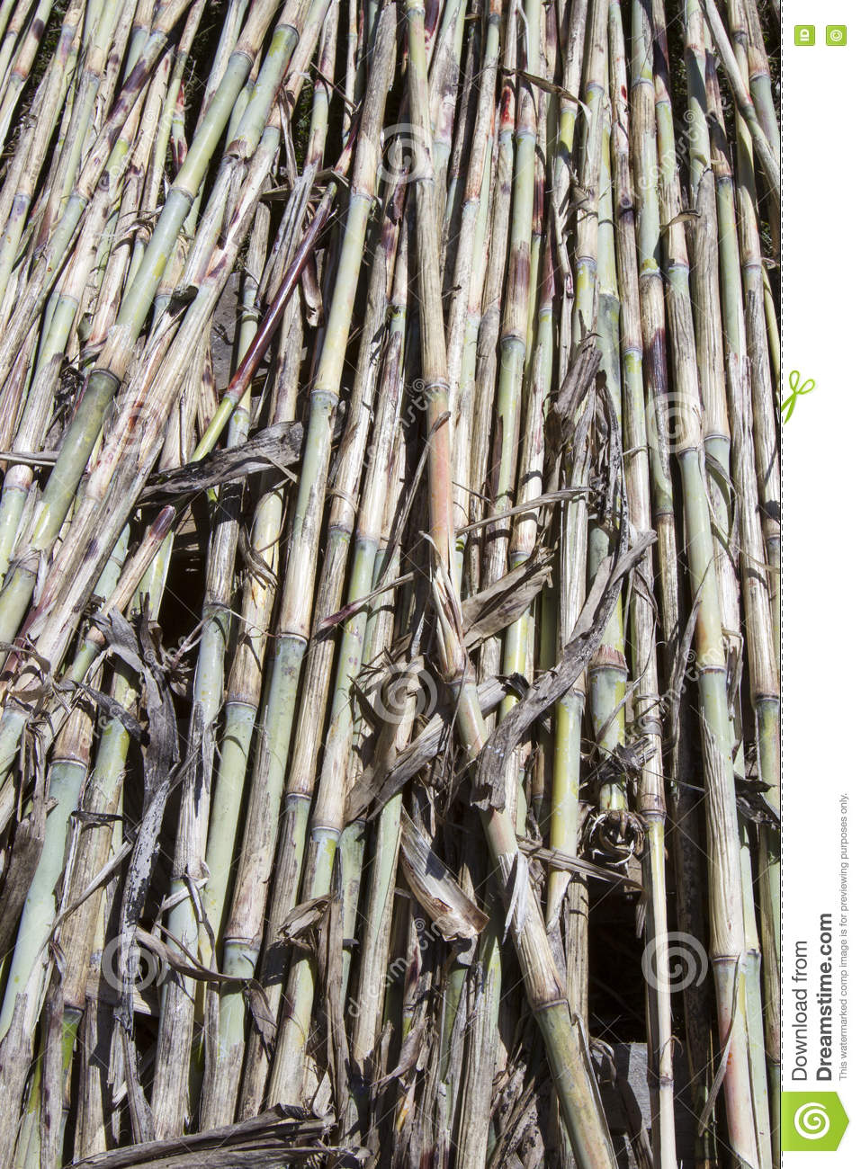 Sugar Cane on The Run - Eat The Weeds and other things, too |Sugar Cane Stalks