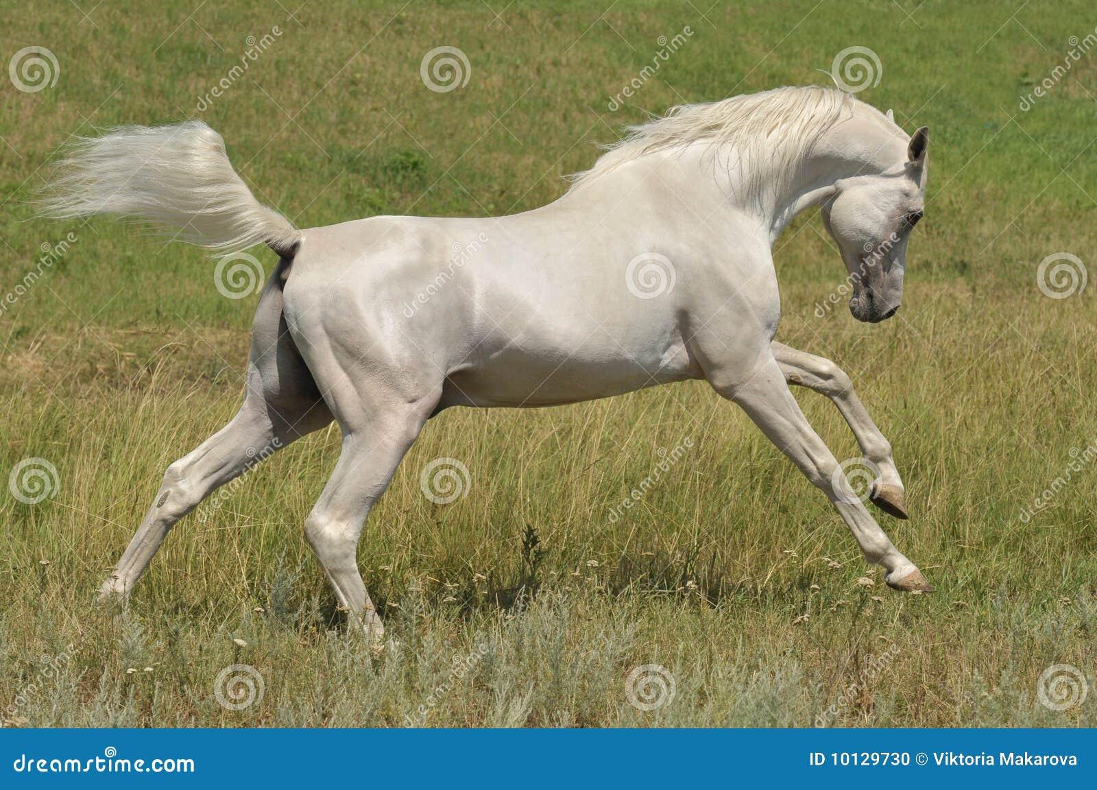 Stallion Arabian White Horse Running Wild Stock Photo ...