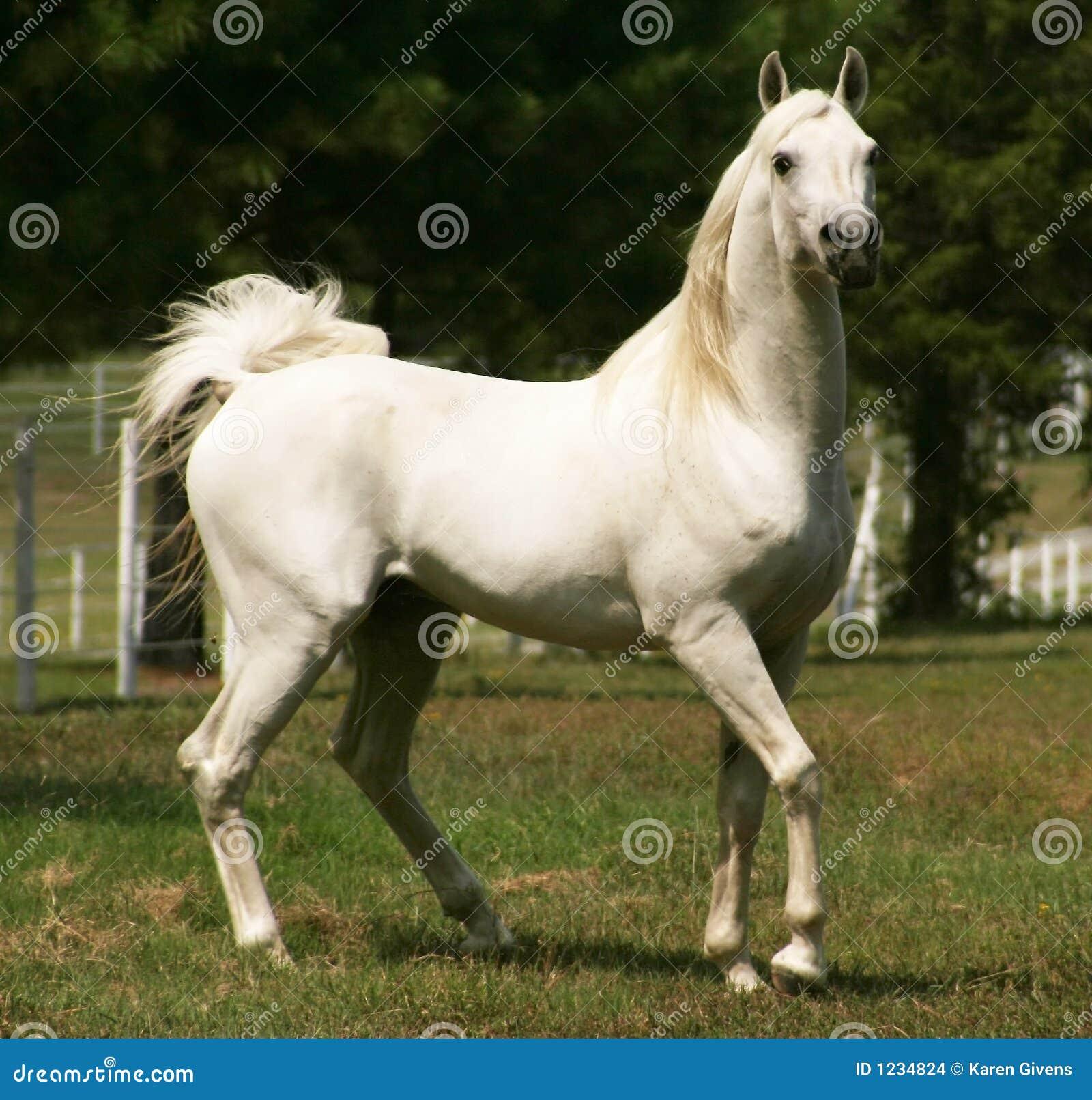 Stallion arabo grigio