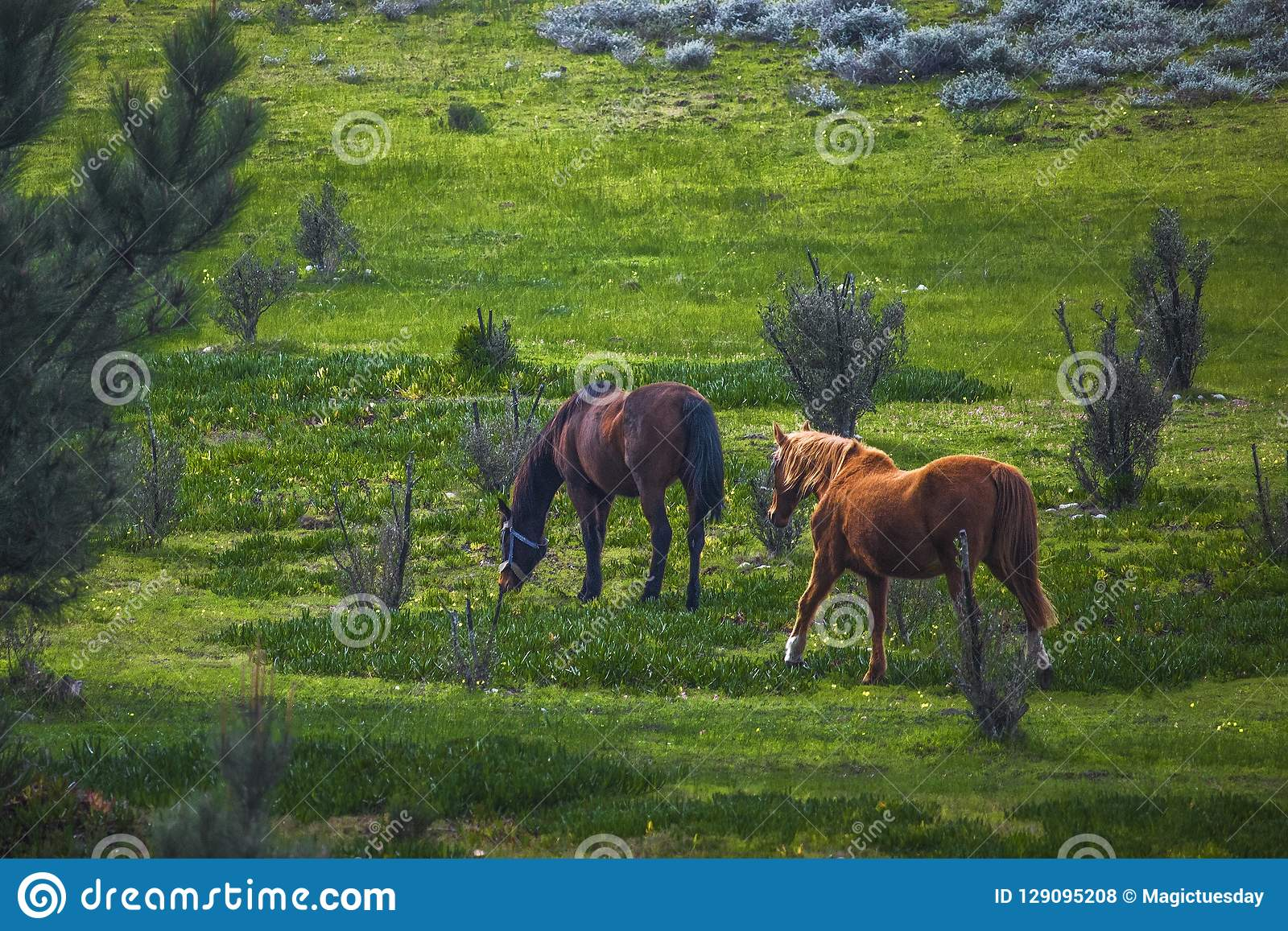 Stallion and mare horses walking in a green field on a farm.