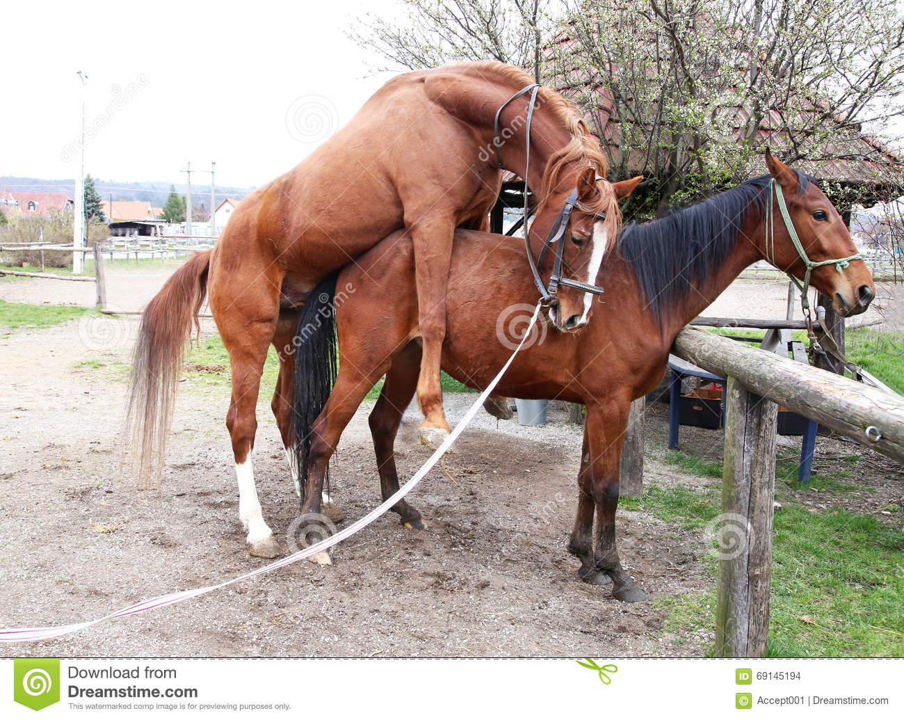 Stallion And Mare Mating In The Farmyard Stock Photo ...