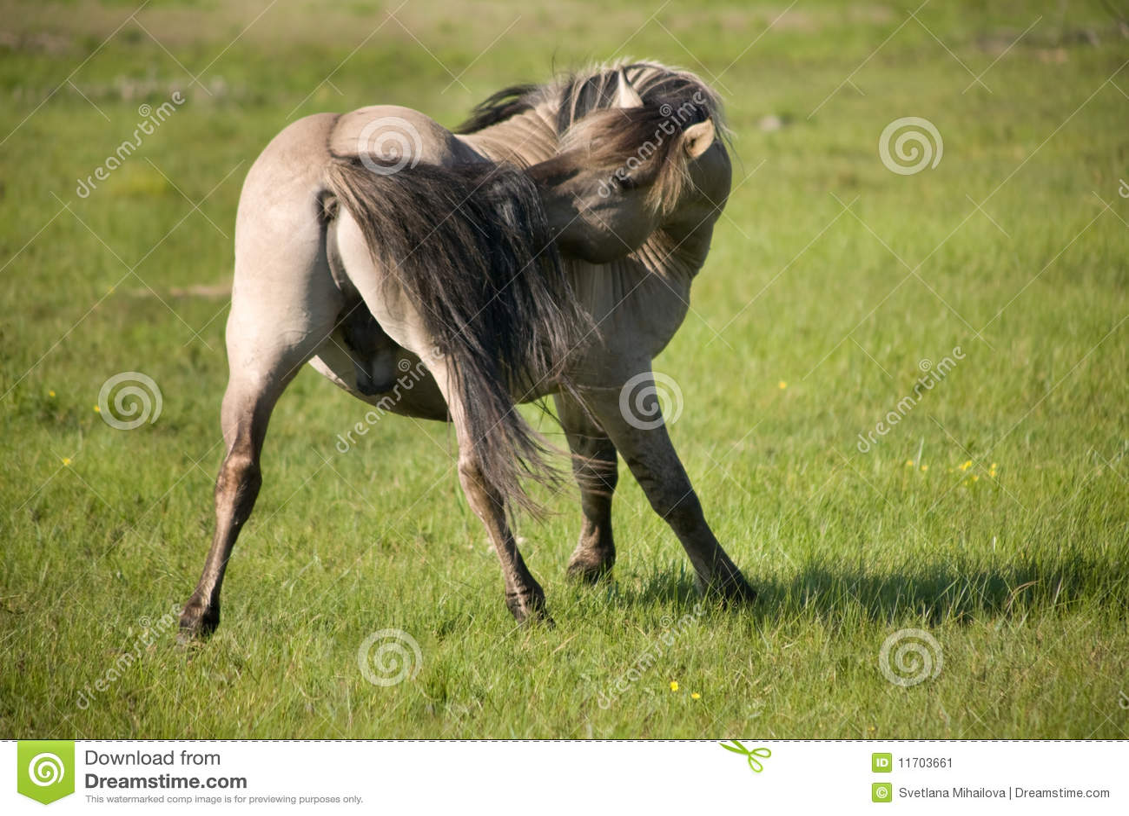 Stallion selvaggio