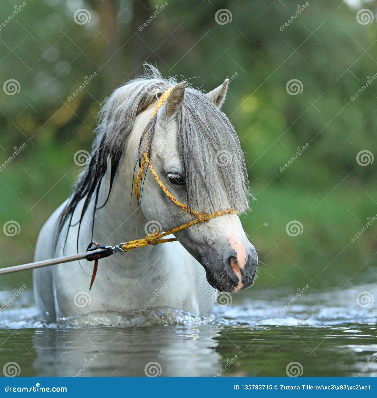 Stallone splendido che nuota nel fiume