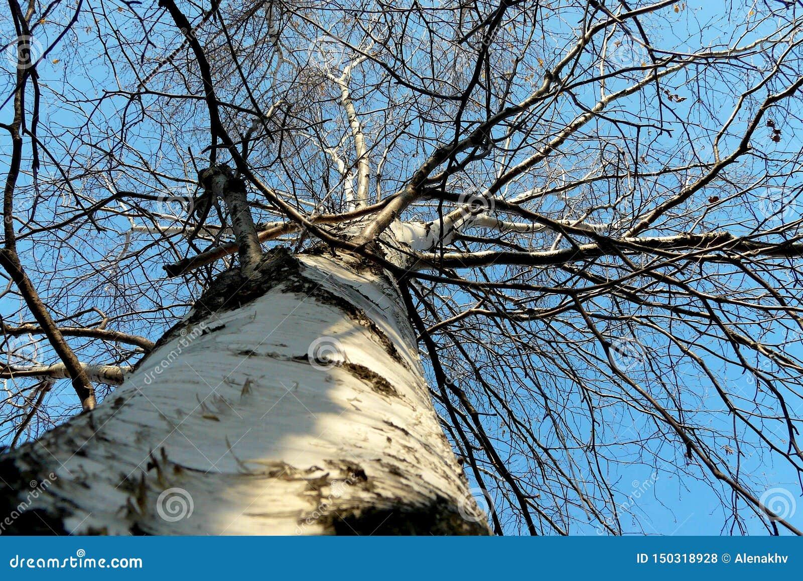 Stam och filialer av björken mot den blåa himlen i vinter