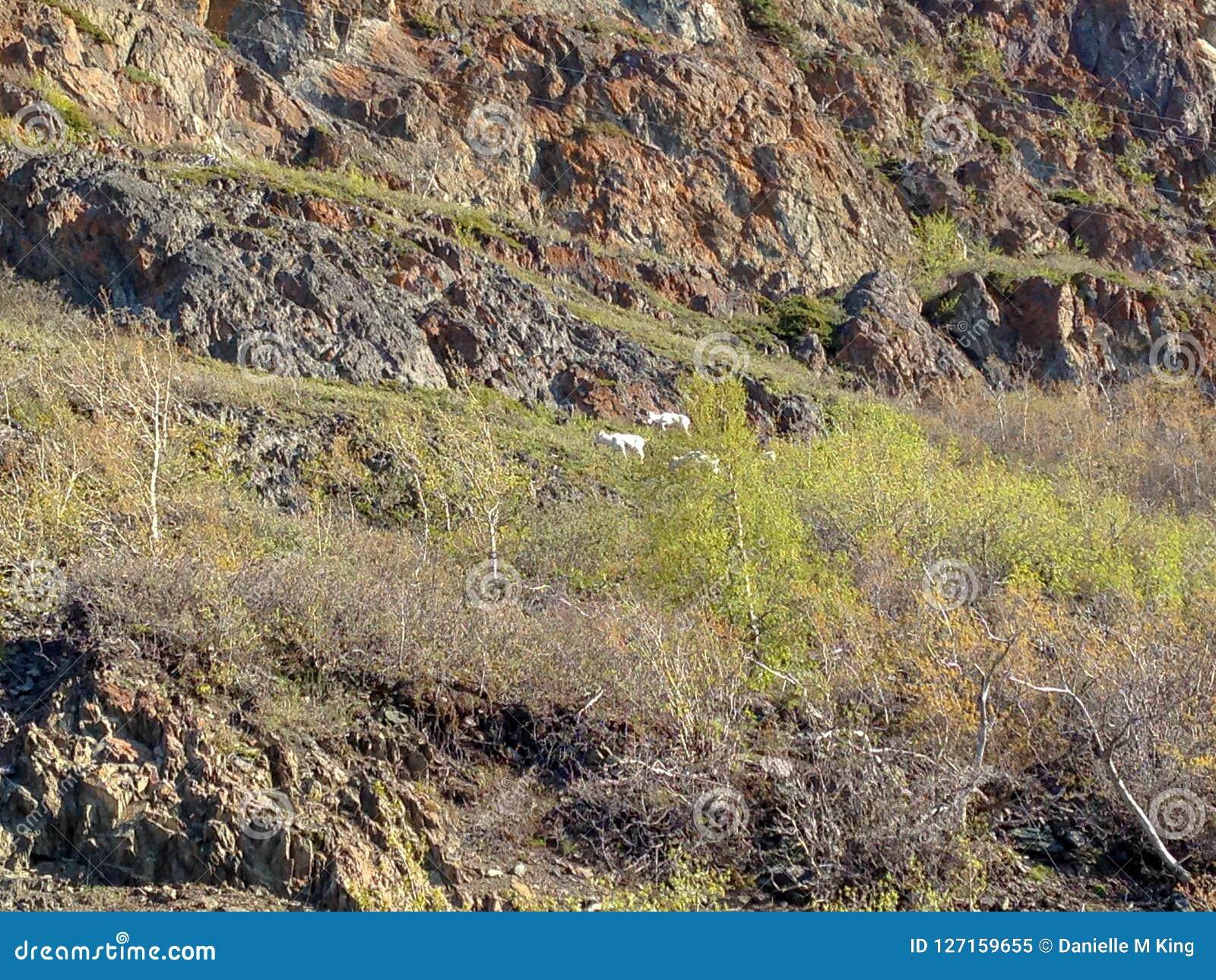 Stambecchi sul fianco di una montagna