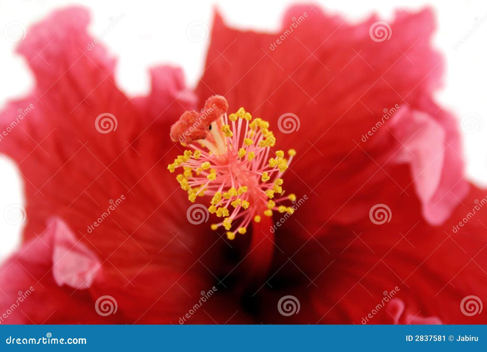 stamen of hibiscus 1 stock image image 2837581. Black Bedroom Furniture Sets. Home Design Ideas