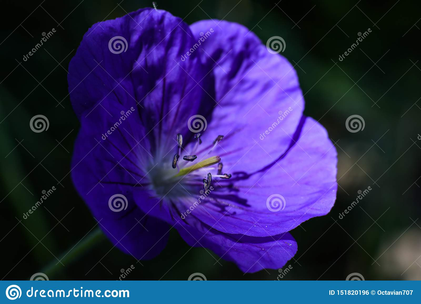 Stamens on beautiful violet flower in light spot