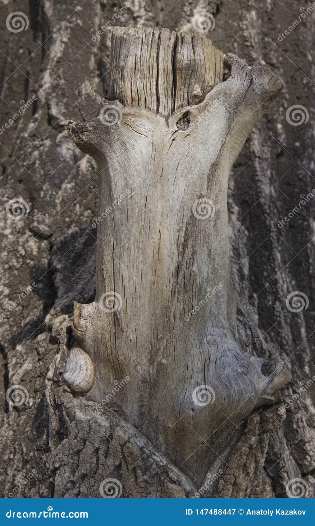 Stamm eines gro?en, best?ndigen Baums